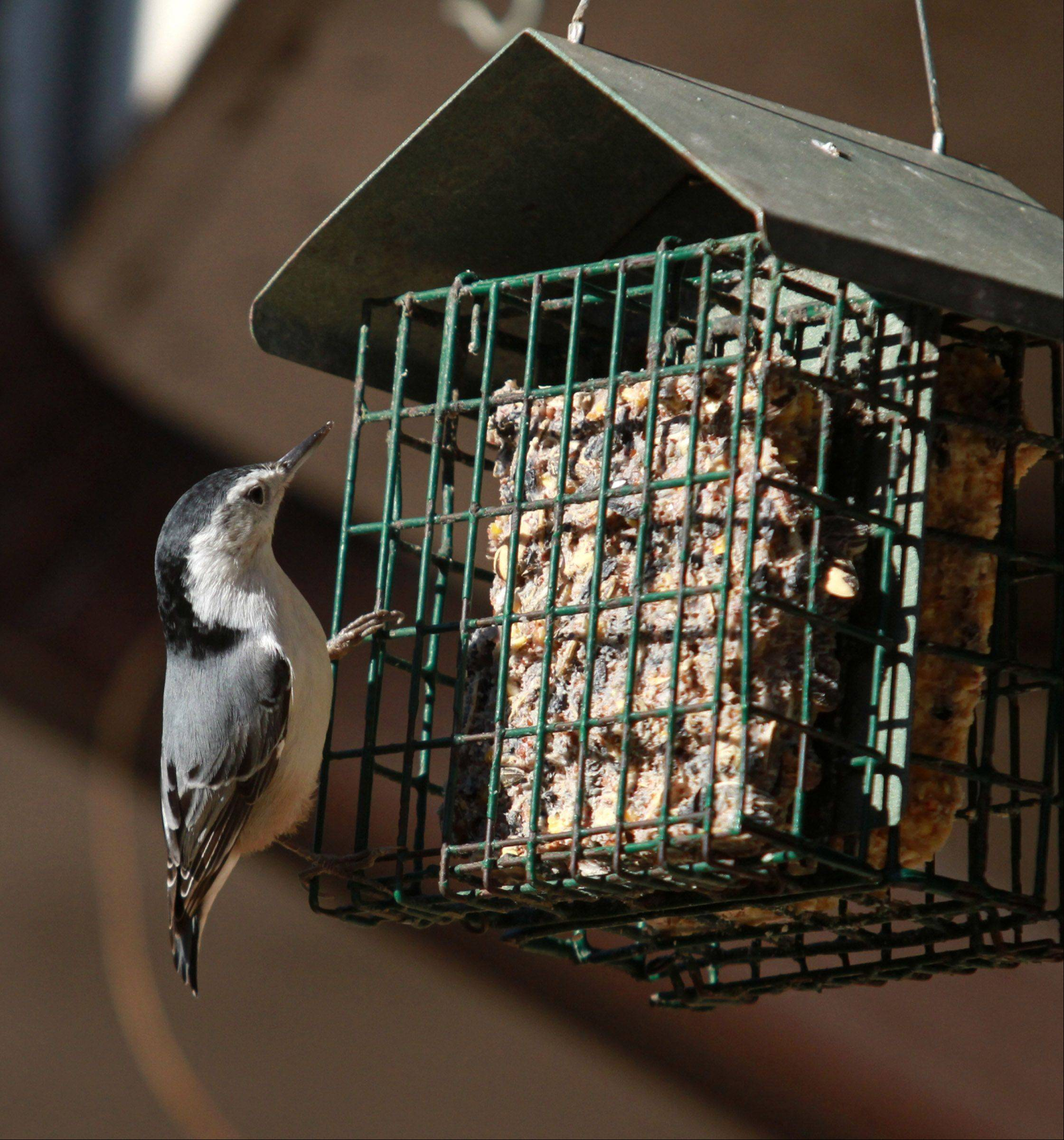 A male white-breasted nuthatch almost six inches long clings to a suet feeder designed for nuthatches in Glenview on Nov. 18. The bird has been drifting from wooded areas in Illinois to backyards in the suburbs over the last five years.
