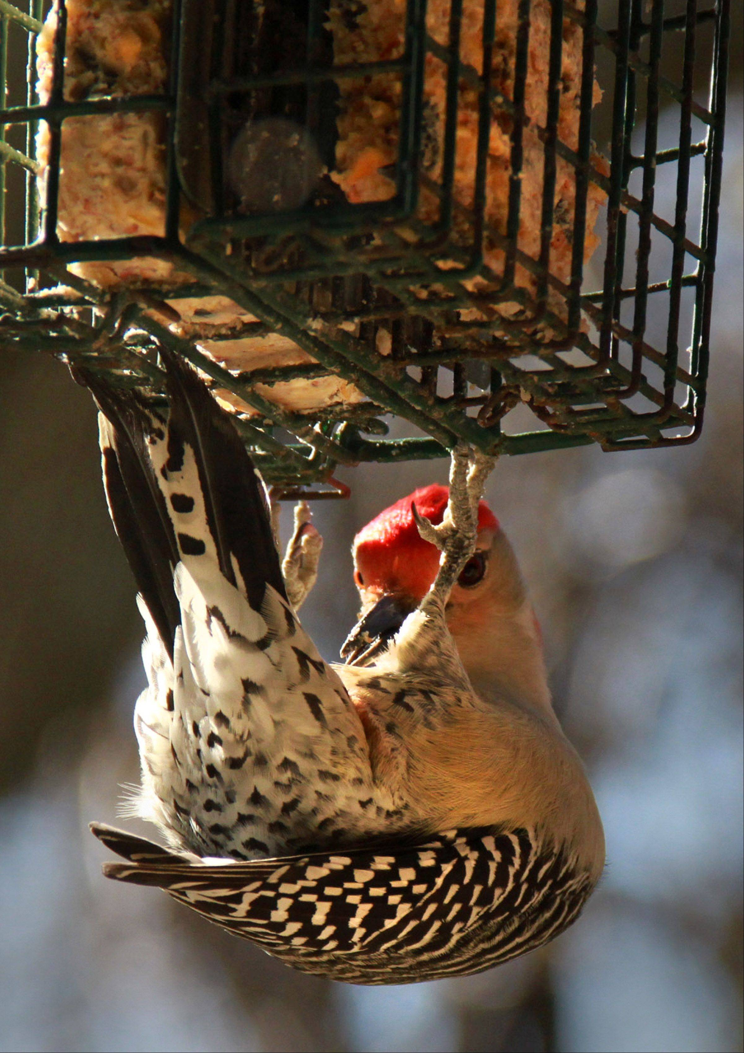 A nine-inch long male red-bellied woodpecker hangs upside down from a suet feeder and seems to be using his belly as a plate Nov. 2 in Glenview. You should select suet for your feeder based on what type of birds you want to attract.