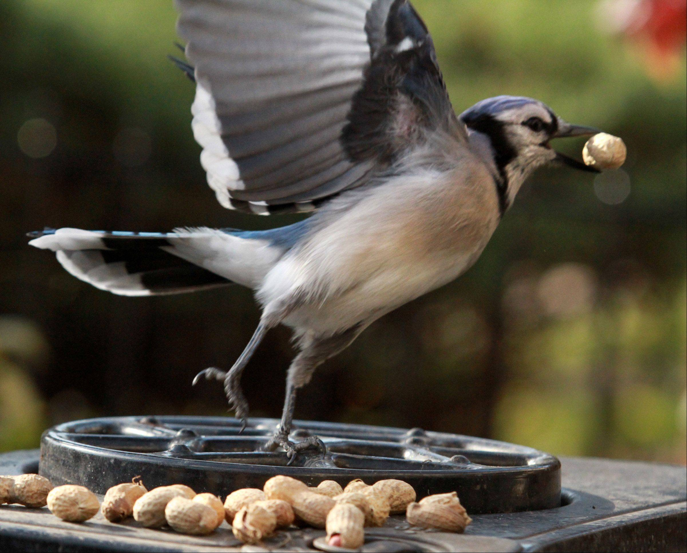 An 11-inch-long blue jay with a wingspan of about 16 inches grabbed 20 peanuts, one at time, in 45 minutes off the top of a grill Nov. 12 in Glenview.