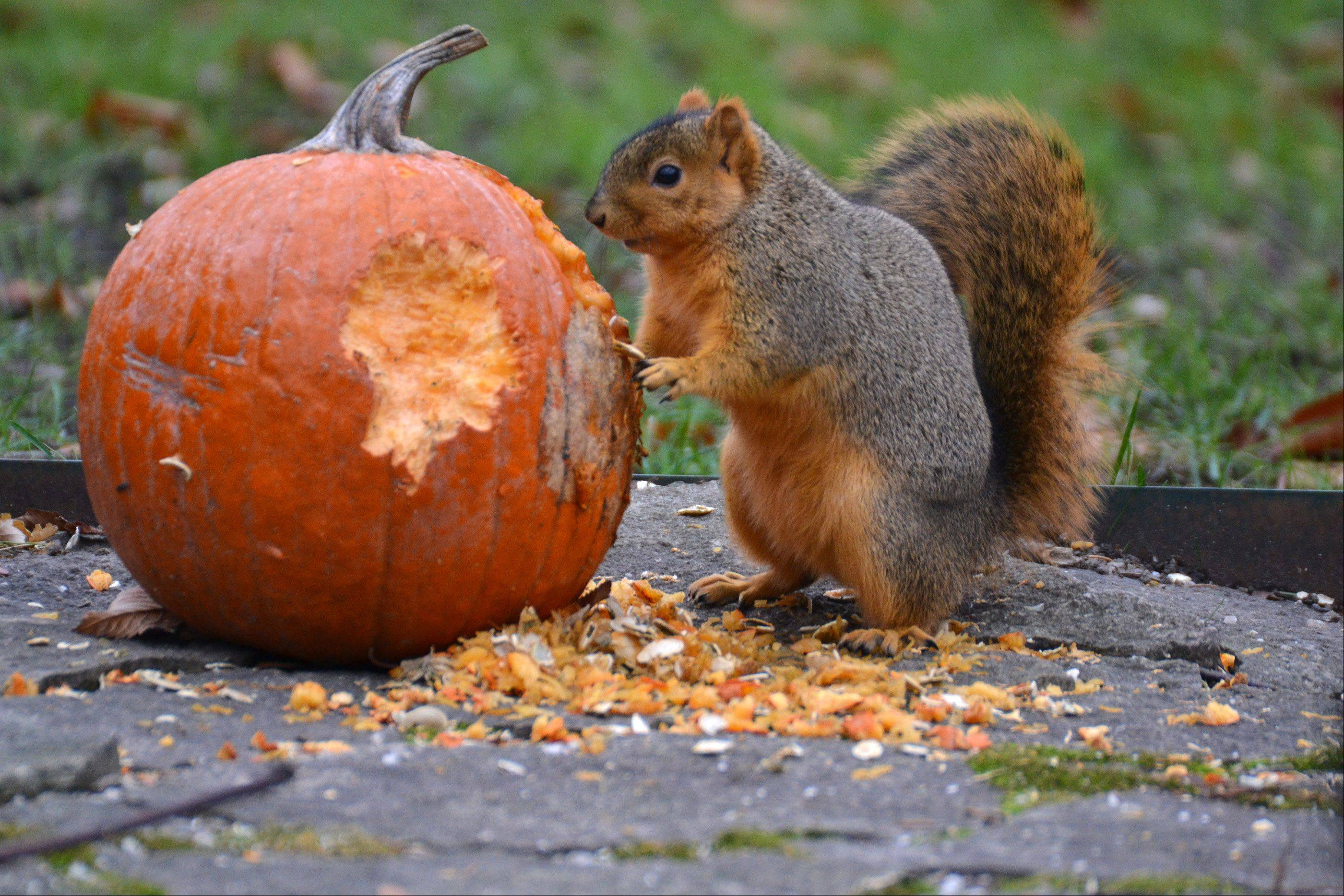 In our backyard, even the squirrels deserve a Thanksgiving dinner!
