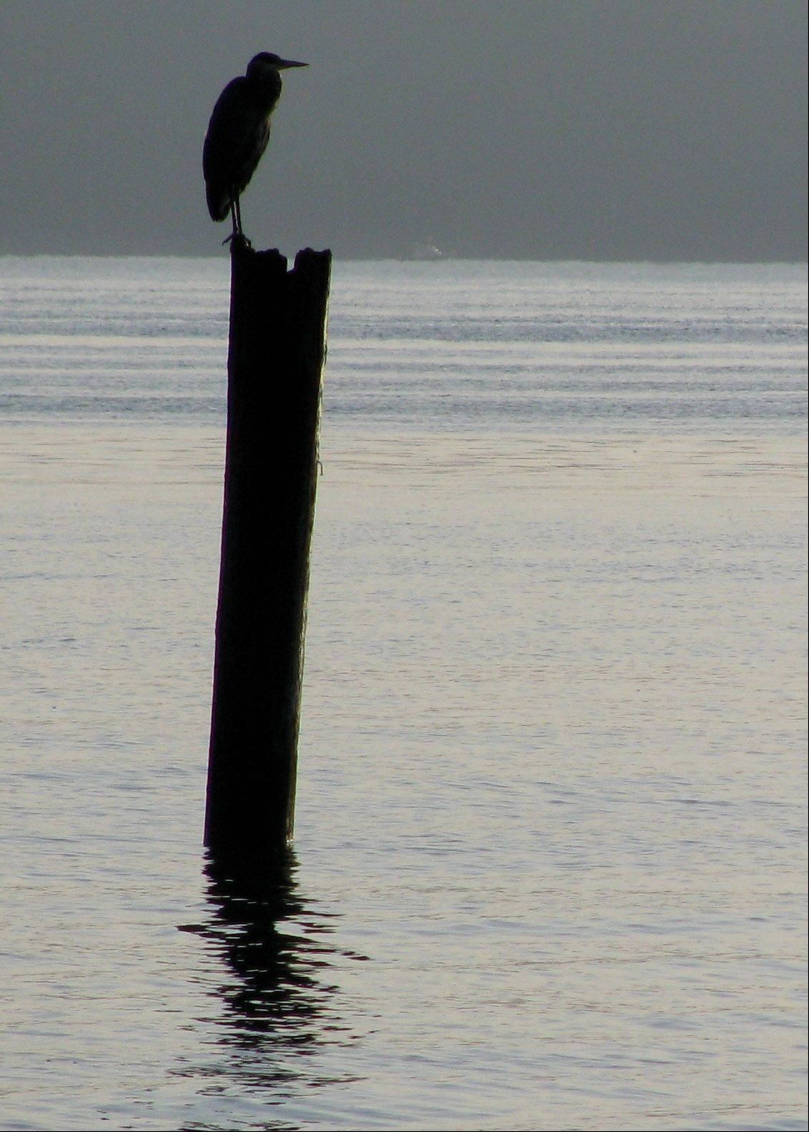 This heron on a piling forms an interesting silhouette in Commencement Bay near Tacoma, Washington.