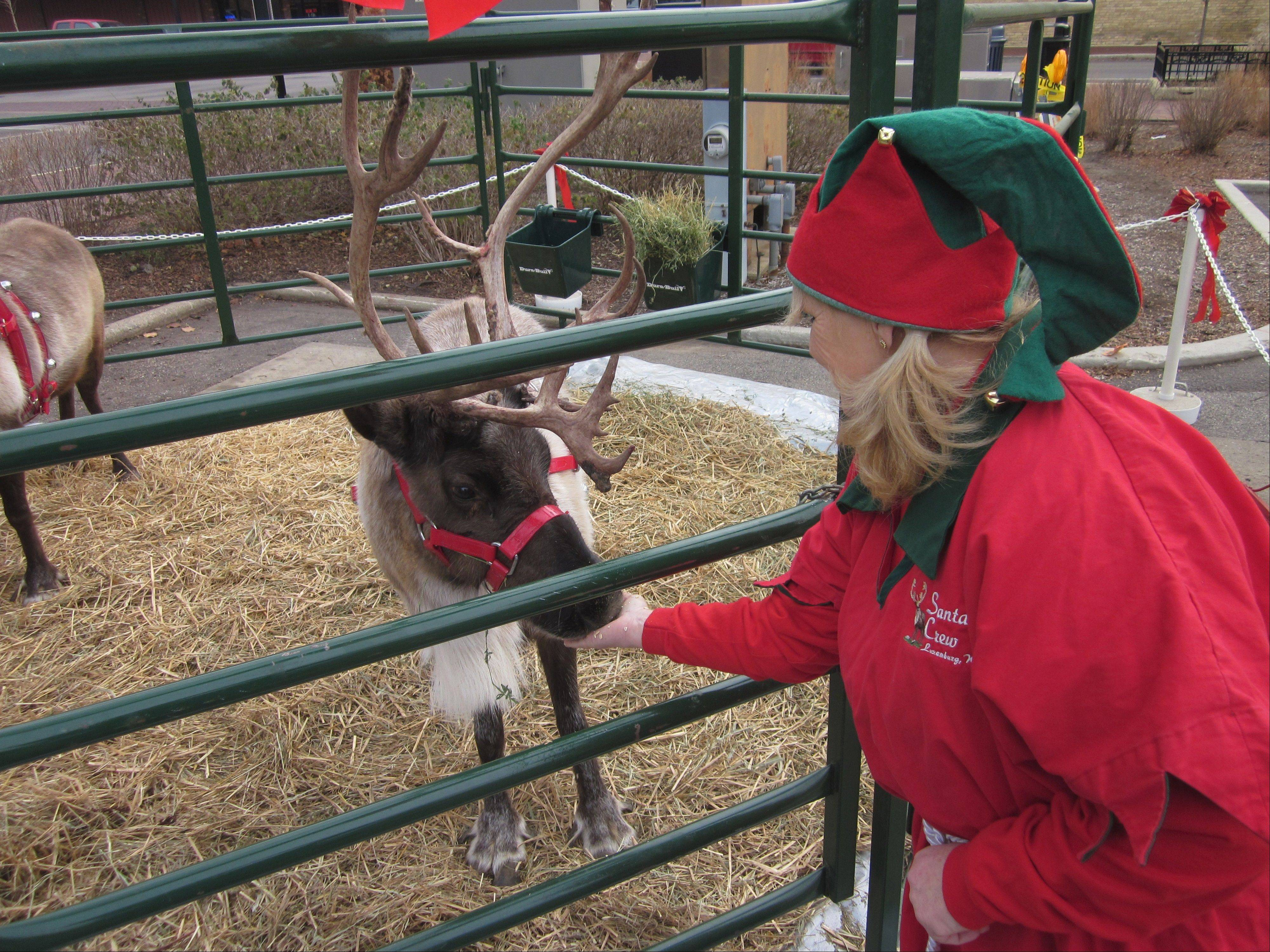 Bernadine Dart of Luxemburg, Wis., feeds one of her family's reindeer in downtown Elgin. The Darts brought two of the 300-pound animals to Elgin for a daylong winter celebration.