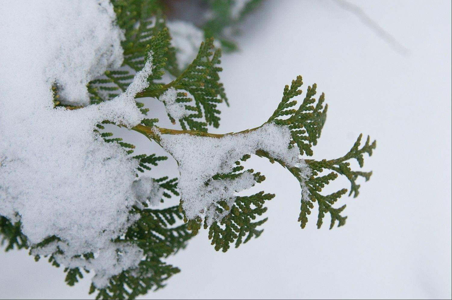 It's best to carefully shake heavy, wet snow off plants while it's snowing to minimize damage to the plants.