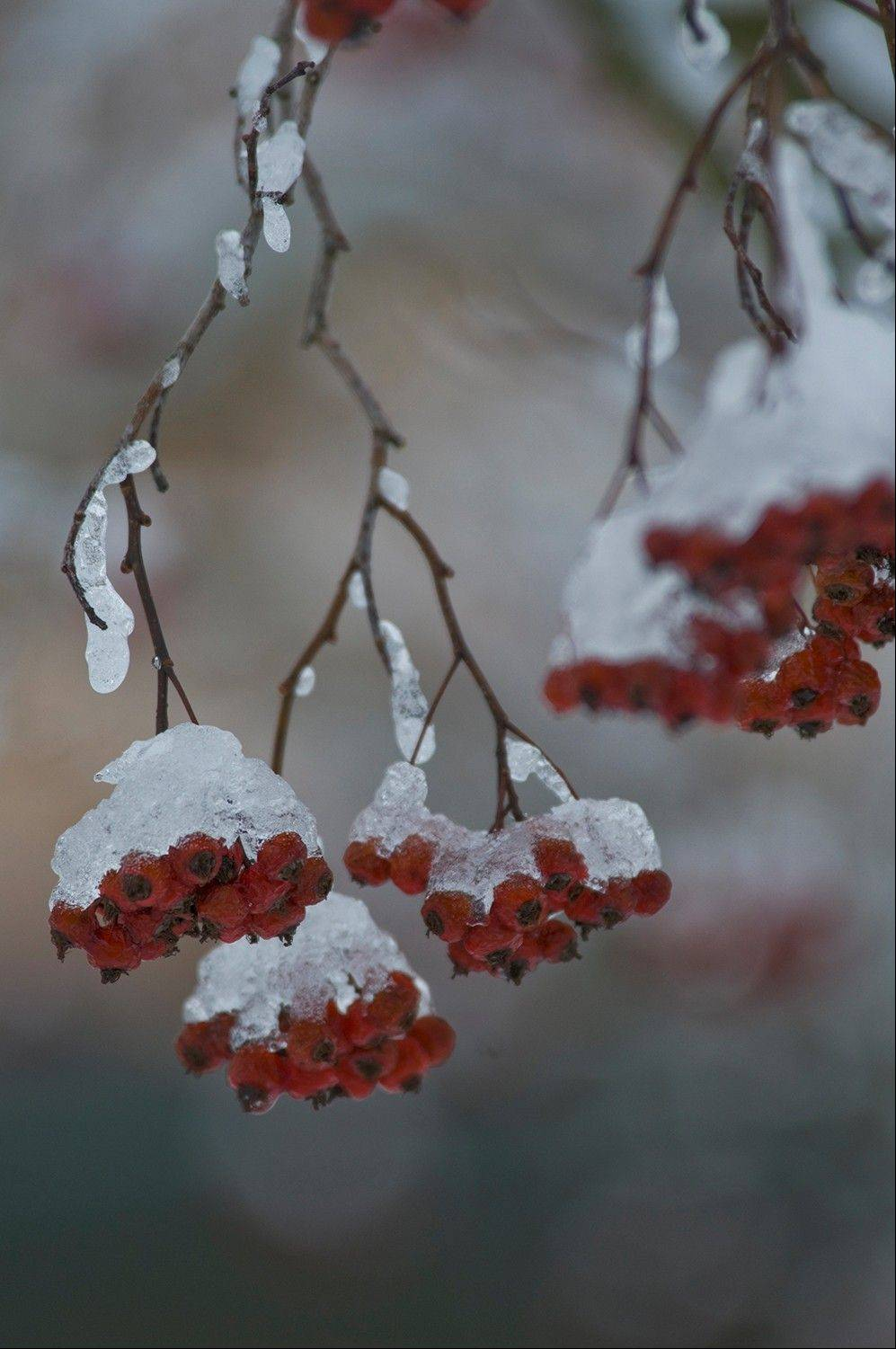 Once the snow or ice has frozen on the plants, it is best to leave it alone and let it melt off.
