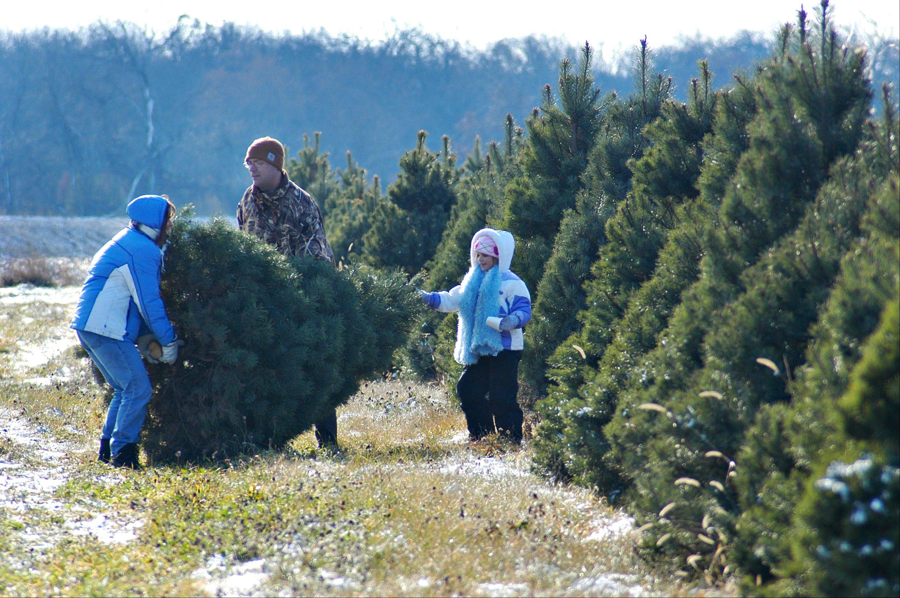 A family decides on a Christmas tree during a visit to Richardson Farm in Spring Grove.