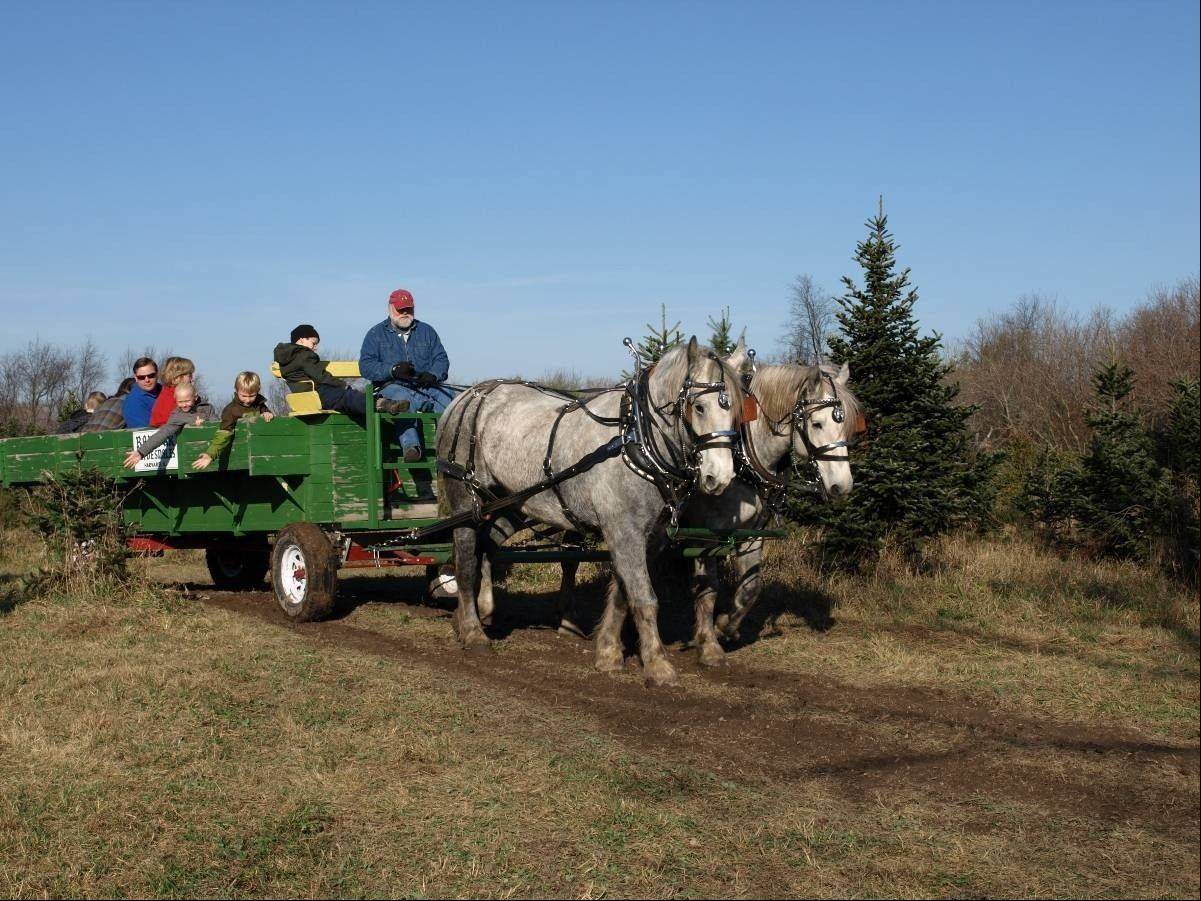 Riding in a horse-drawn wagon is part of the fun of picking your own Christmas tree at Ben's Christmas Tree Farm in Harvard.