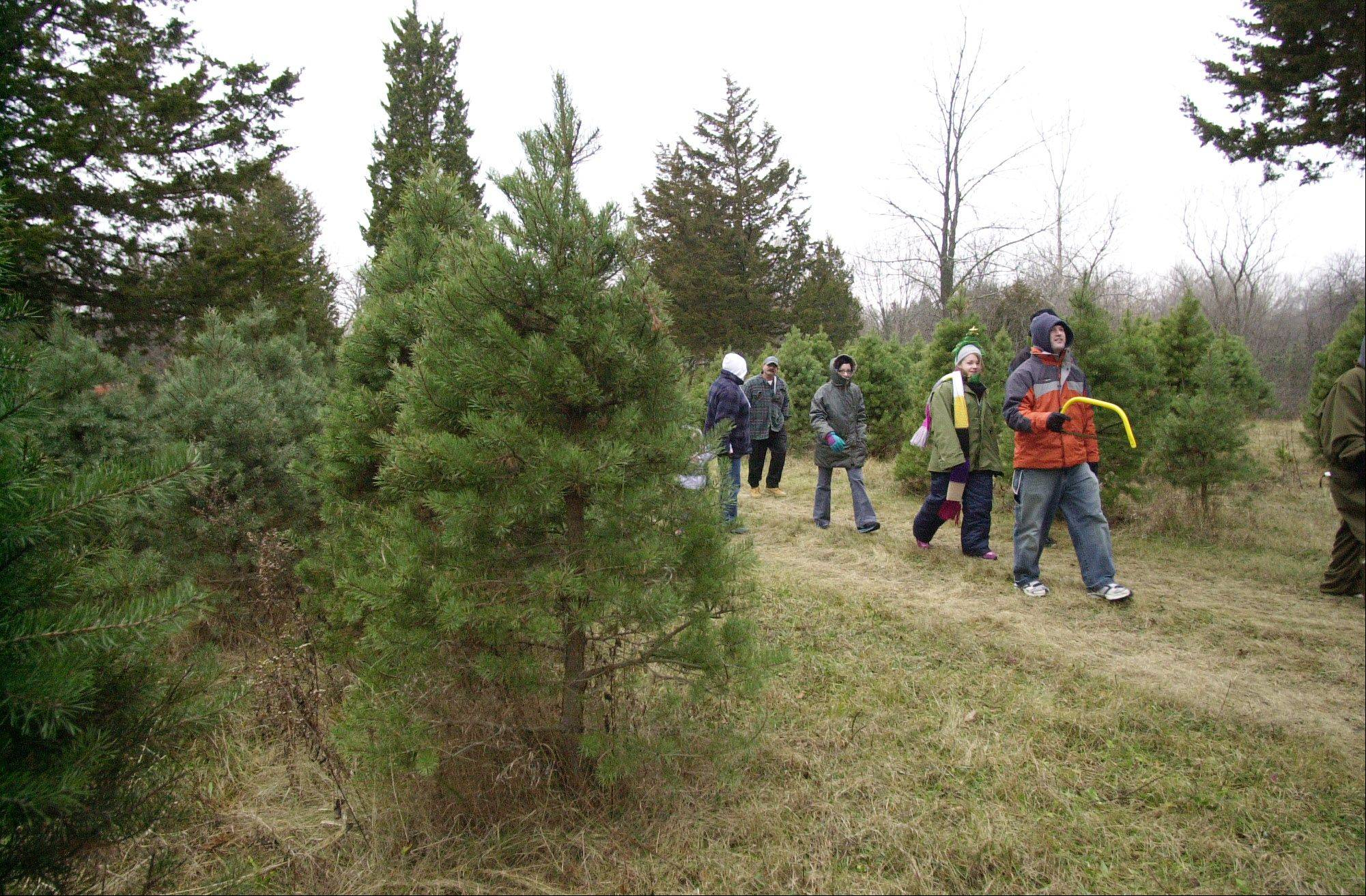 Christmas tree hunters head out with saws in hand to find the perfect tree.