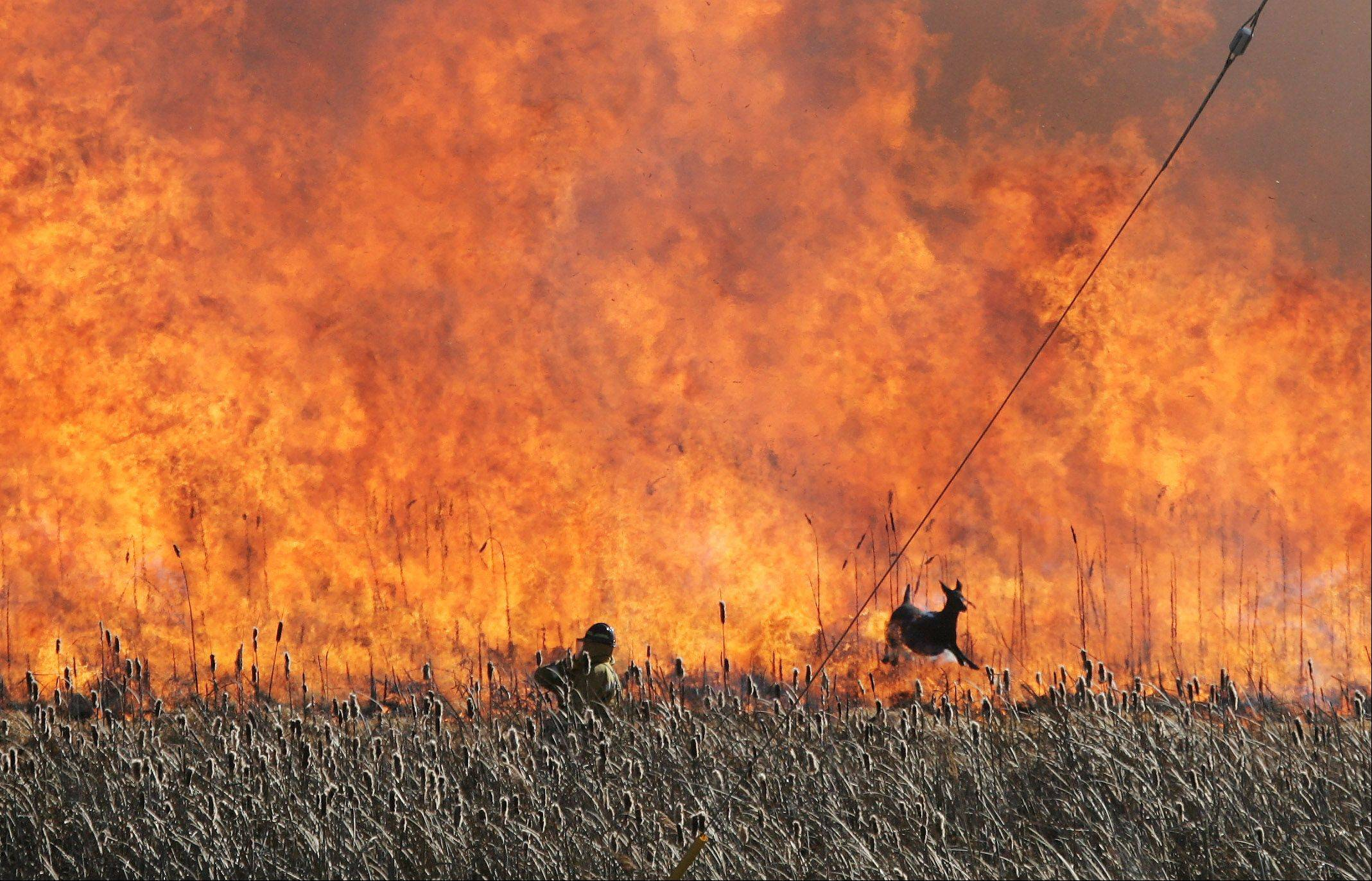 A deer runs past a worker as the Lake County Forest Preserve conducted a controlled burn Wednesday in the wetland at Lakewood Forest Preserve near Wauconda. According to Dave Cassin, assistant superintendent of natural resource operations, the operation was to burn off vegetation detritus and to open the area to sunlight for growth of natural vegetation.