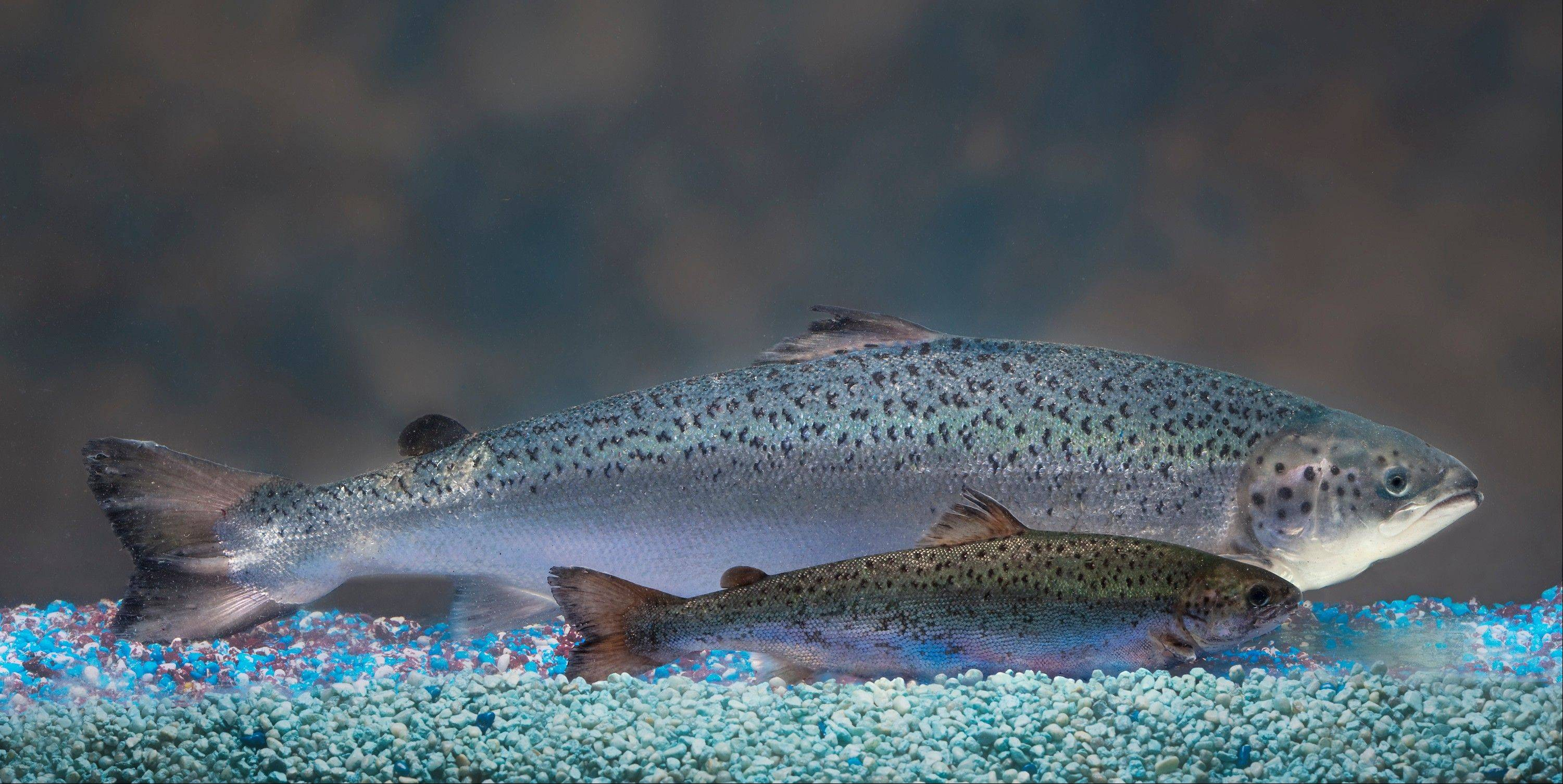This 2010 photo provided by AquaBounty Technologies shows two same-age salmon, a genetically modified salmon, rear, and a non-genetically modified salmon, foreground. Salmon that's genetically modified to grow twice as fast as normal could soon show up on your dinner plate -- if the company that makes the fish can stay afloat.