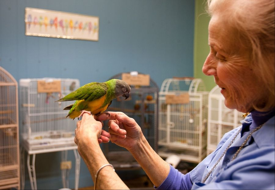 Volunteer Alice Blayney holds a Senegal parrot Tuesday as the Greater Chicago Cage Bird Club begins adopting out almost 400 birds, many of which were recovered from the Aurora townhouse of David Skeberdis.