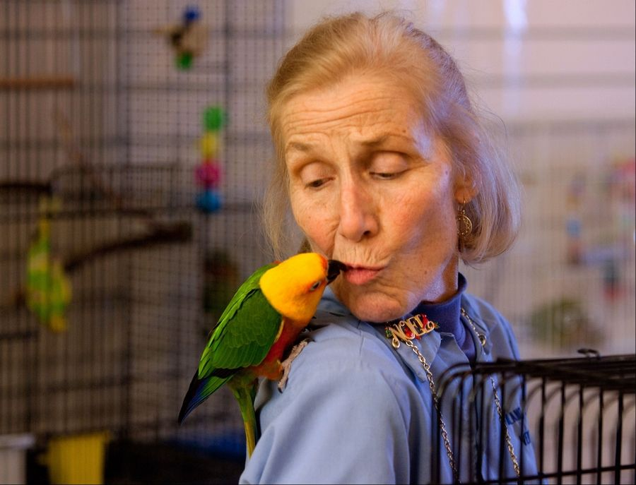 Volunteer Alice Blayney visits with a sun conure, a bird native to South America. The Greater Chicago Cage Bird Club on Tuesday began offering almost 400 birds, many of them found in the Aurora home of accused animal hoarder David Skeberdis, up for adoption.