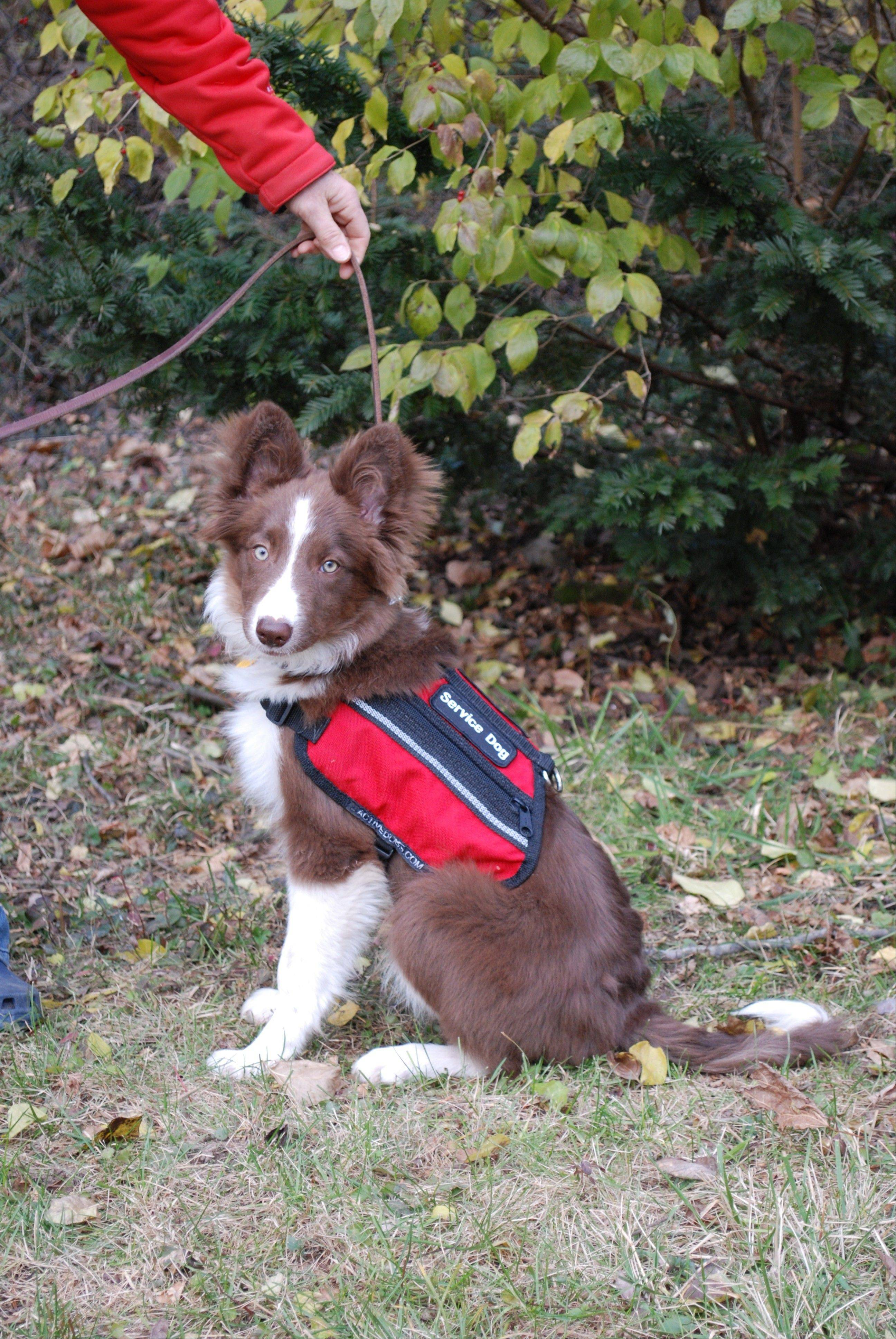 This 4�-month-old border collie named Razor is in training at Alert Service Dogs to become a diabetes-alert dog that can warn patients of serious changes in blood-sugar levels. One of these dogs will be auctioned off Saturday at the JDRF fundraiser in Chicago.
