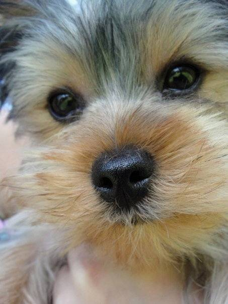 Gizmo two year old yorkshire terrier