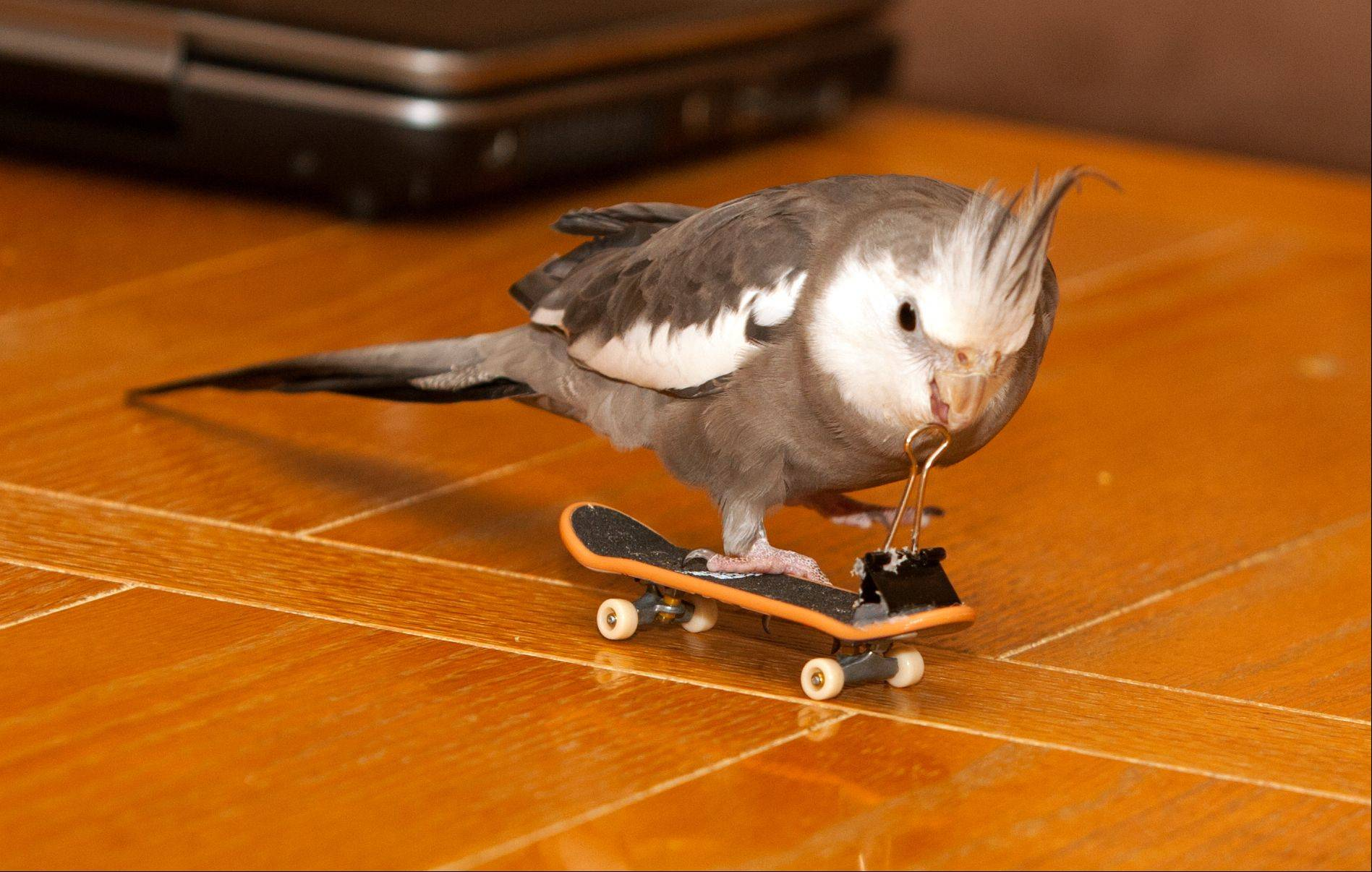 Frank and Kim Alonso's pet cockatiel Tango skateboards around their Lombard home Friday. Tango is back at home after a three-day adventure that involved being chased by a hawk and cared for by a guest at Lombard's Westin hotel.