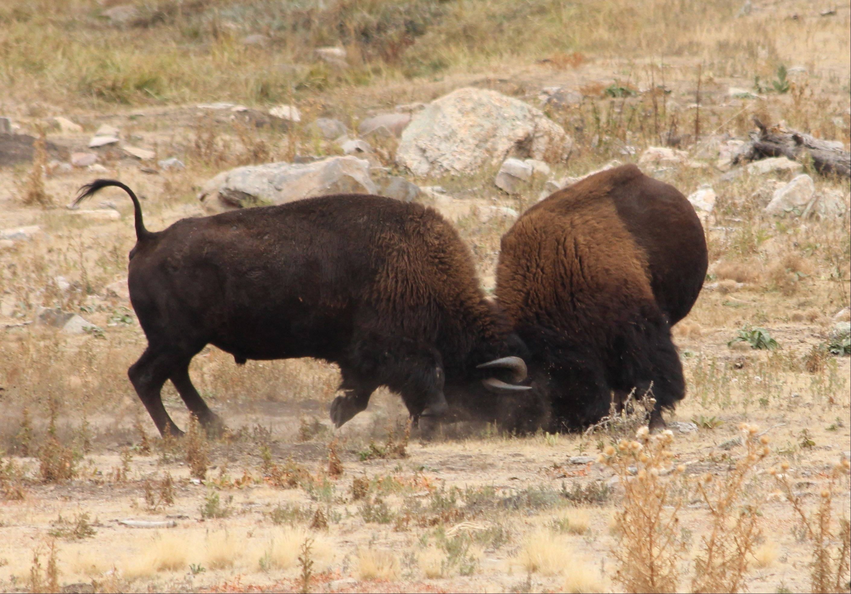 Two buffalo lock horns at Custer State Park in South Dakota last October.