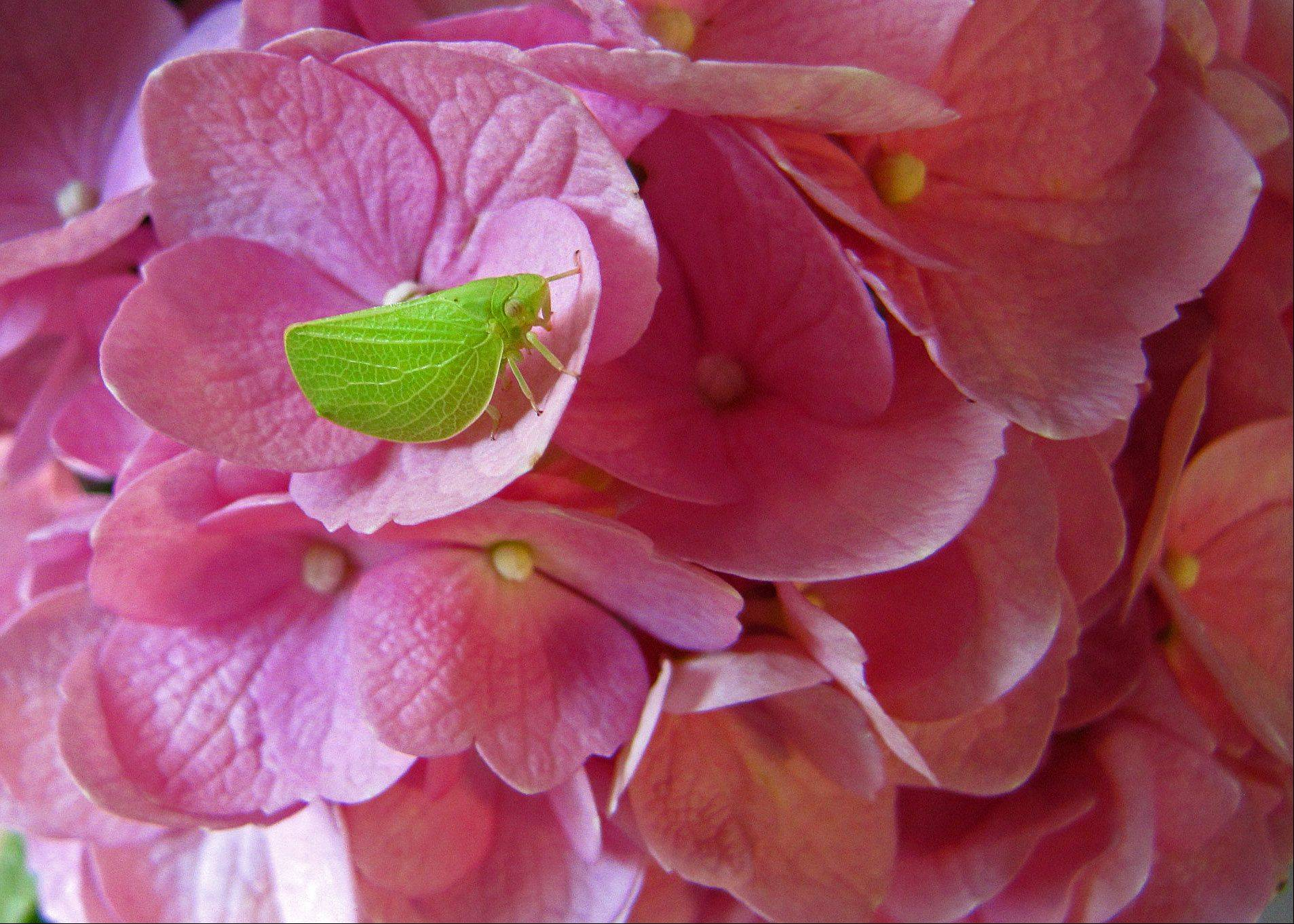 Although this bug is tiny, his leaflike shape stands out against the vivid pink of the hydrangea petals.
