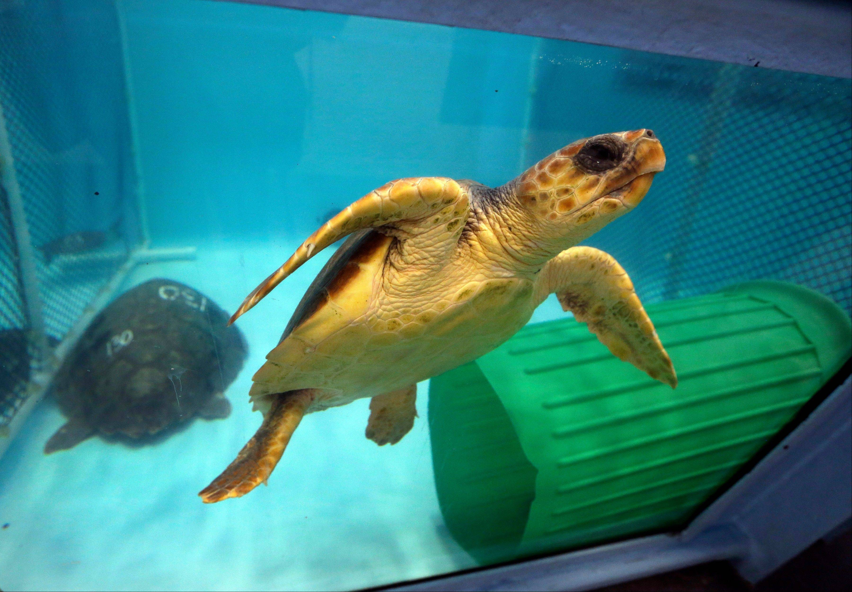 A rescued green sea turtle swims in a tank Thursday at the New England Aquarium's Animal Care Center in Quincy, Mass.