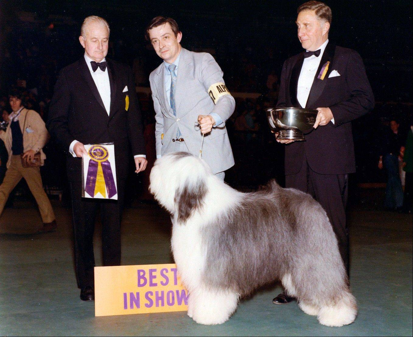 Sheepdog Sir Lancelot of Barvan placed as the Westminster Best In Show winner. Sheepdogs have been recognized by the American Kennel Club since the late 1800s and won best in show at Westminster in 1914 and 1975.