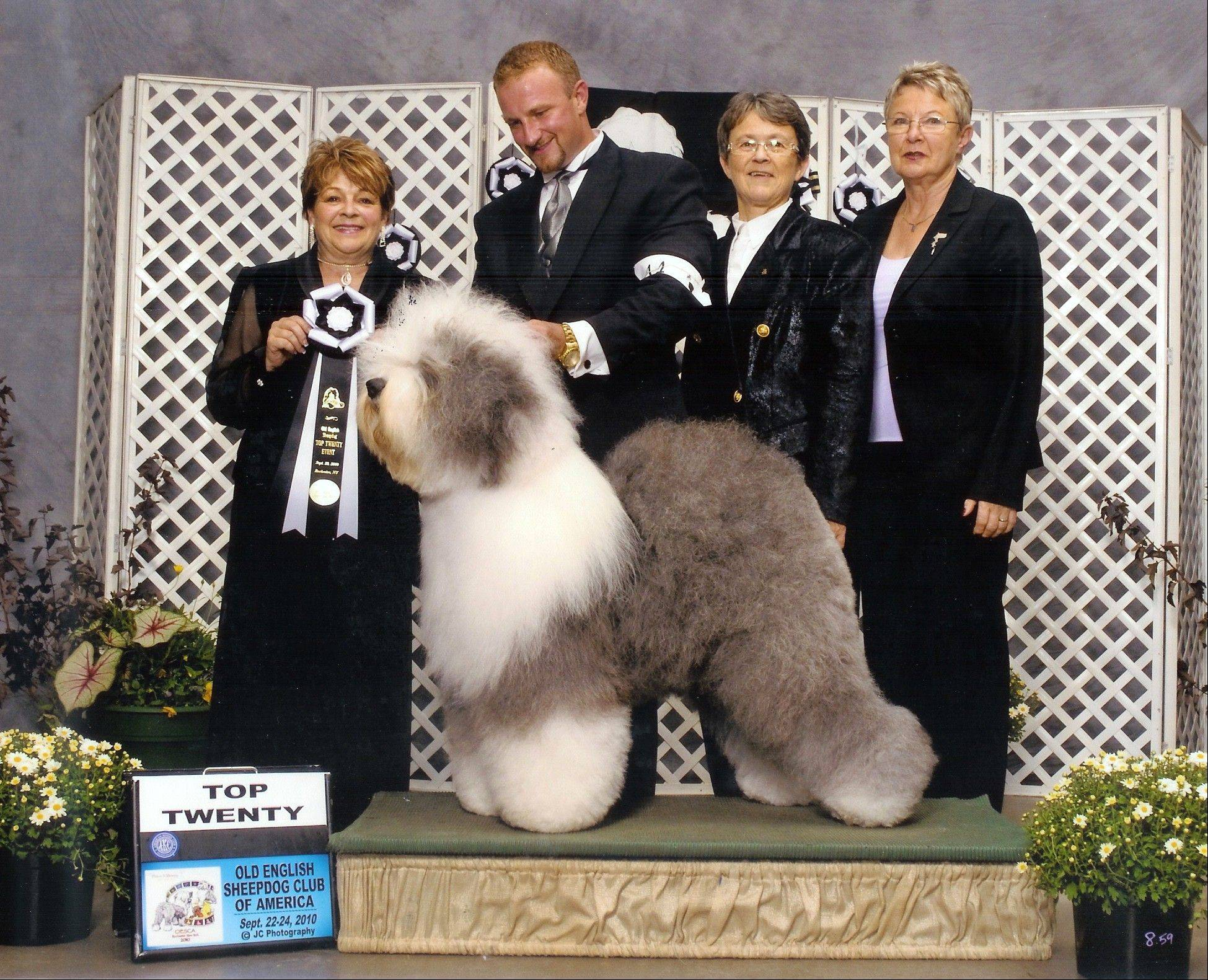 English sheepdog, Georgie Girl, placed in the top 20 at an Old English Sheepdog of America competition. Breeders in the United States and England are concerned about the drop in the number of purebred sheepdog puppies.