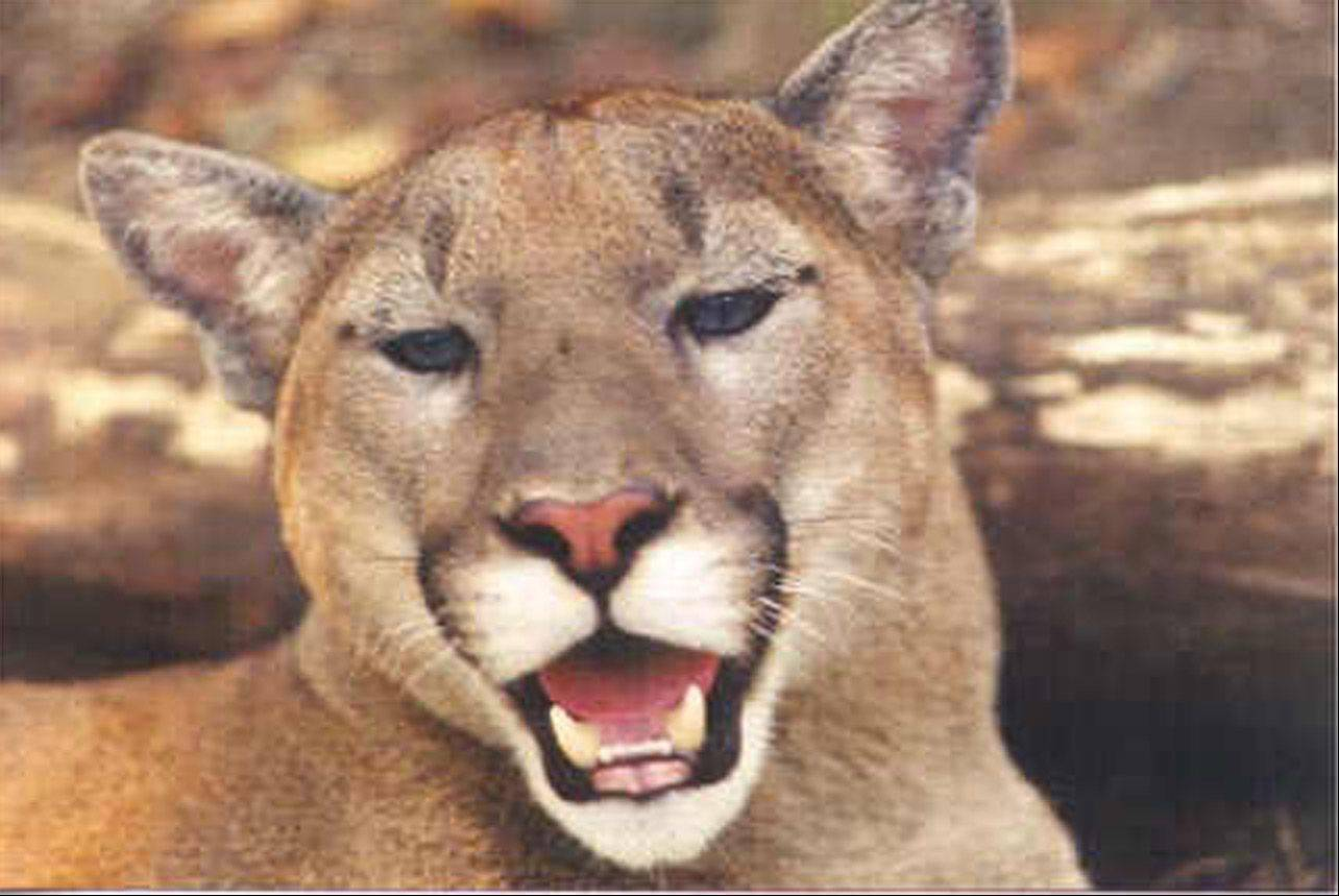 Cougars, mountain lions and panthers are different names for the same cat.