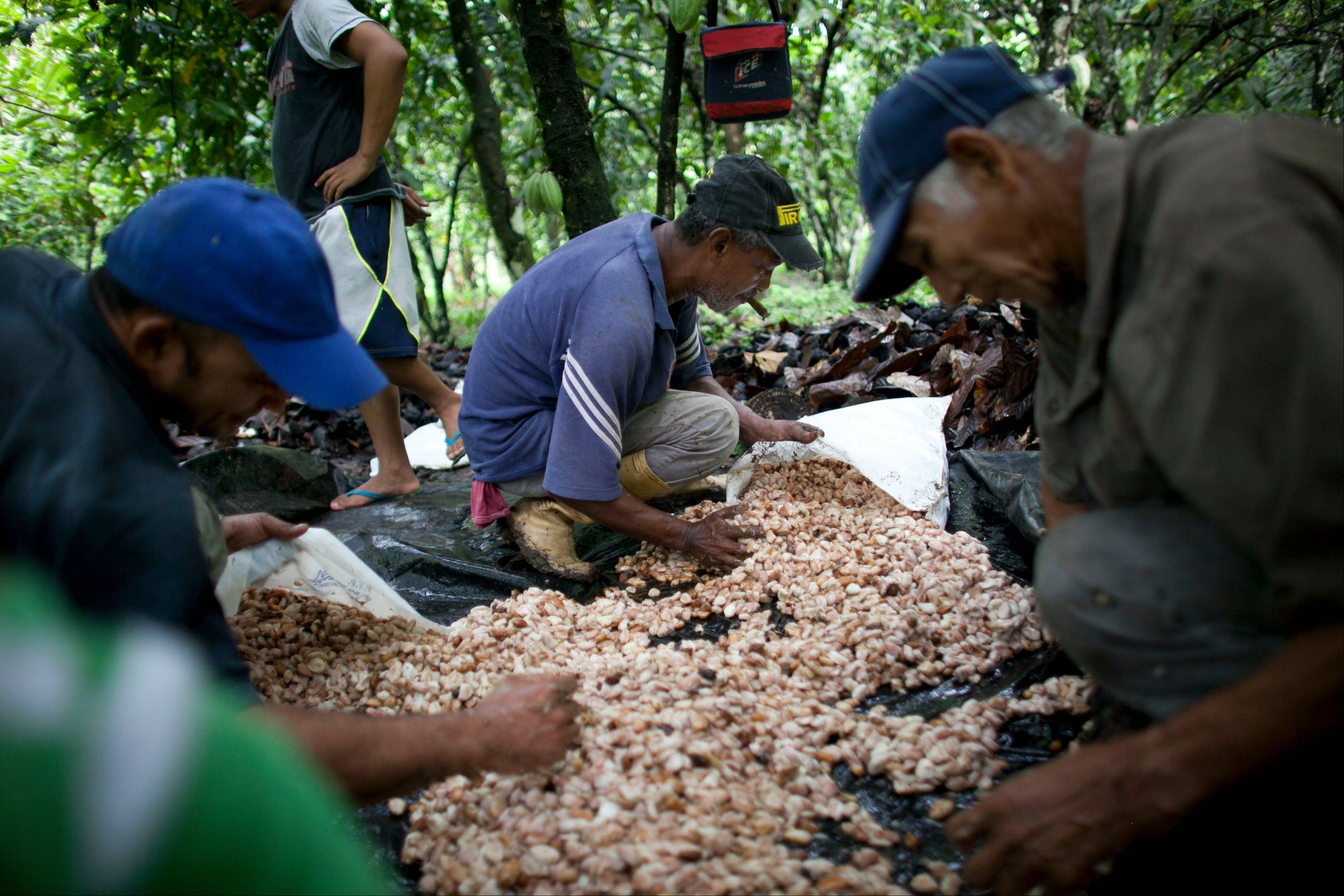 Grower Pablo Planchar, center, and workers gather the pulp and seeds they scooped from cacao pods into sacks, at a cacao plantation in Cano Rico, Venezuela. Cacao pods that ripen in the forest-shaded plantations of Venezuela are transformed into some of the world's finest chocolate.