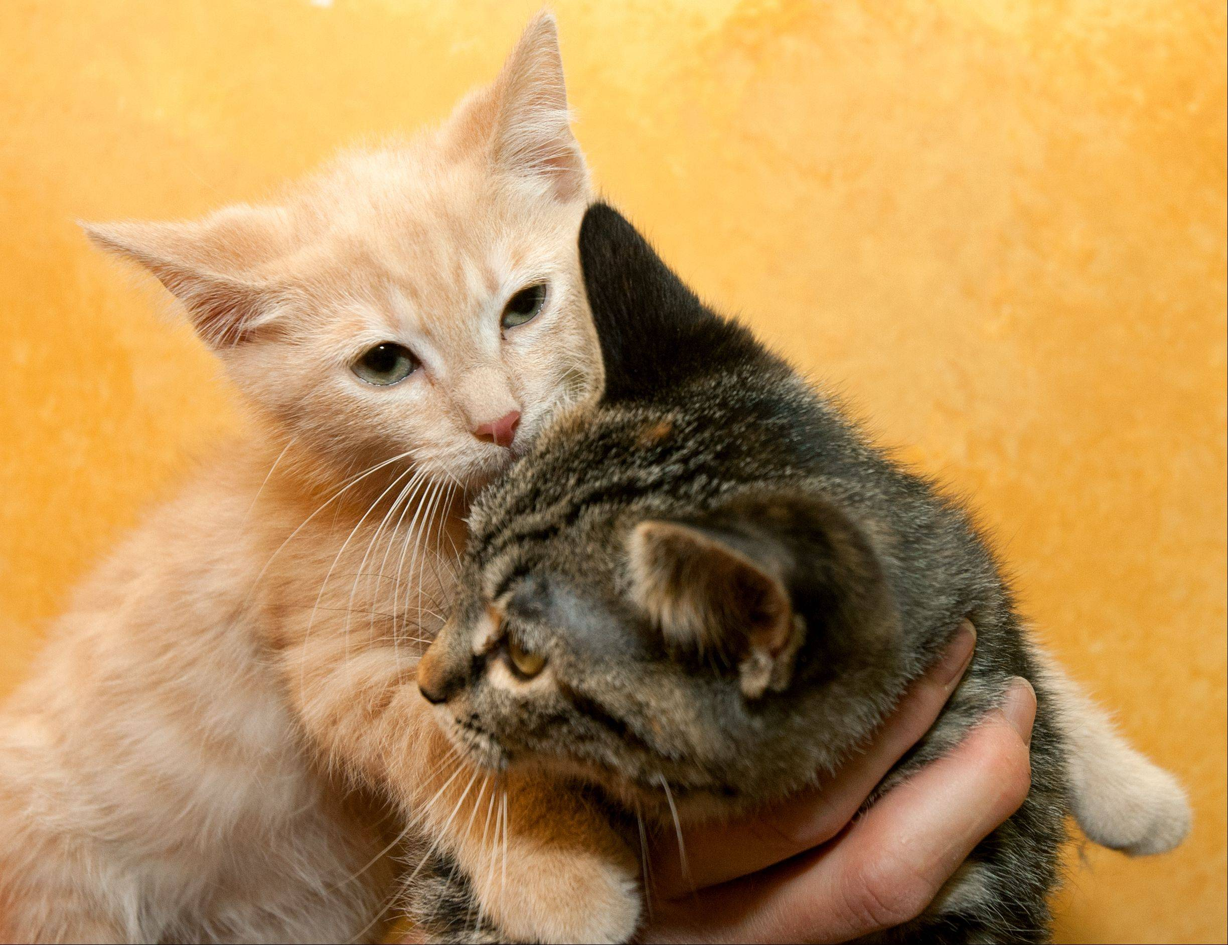 Several kittens benefit from of the Waifs and Strays Animal Rescue group. Rescued pets housed at All Pet Pantry in Lisle get plenty of socialization time -- with each other and with customers.