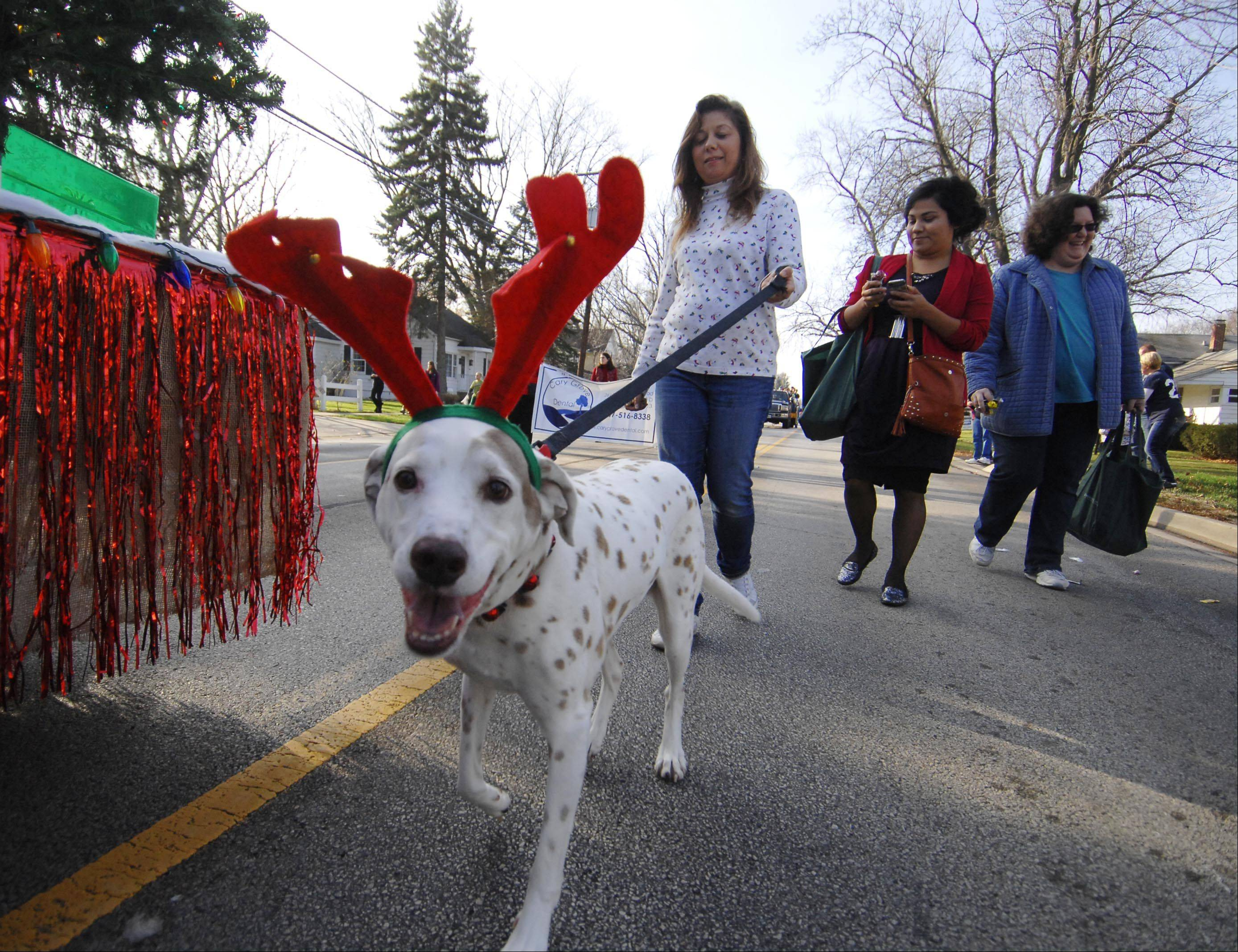 13-year-old Patch wears his reindeer antlers as he walks with his owner Connie Peterson in the Merry Cary holiday parade Sunday in Cary. She works for Cary Bank and Trust and was walking with the float.