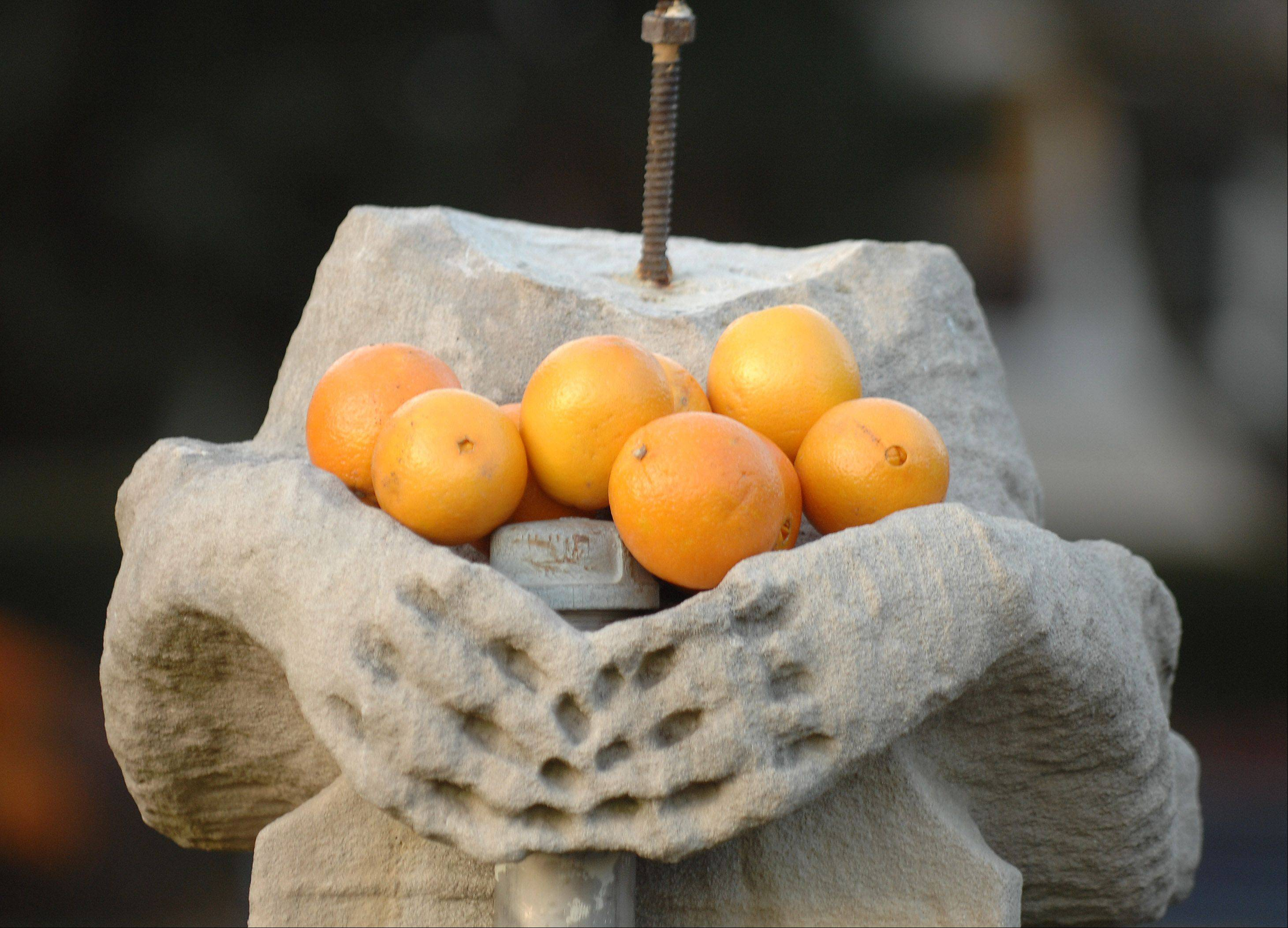 A headless statue, Olive Gargoyle, next to Still Hall holds a dozen oranges. Students placed the oranges there in hopes of bringing good luck to their team.