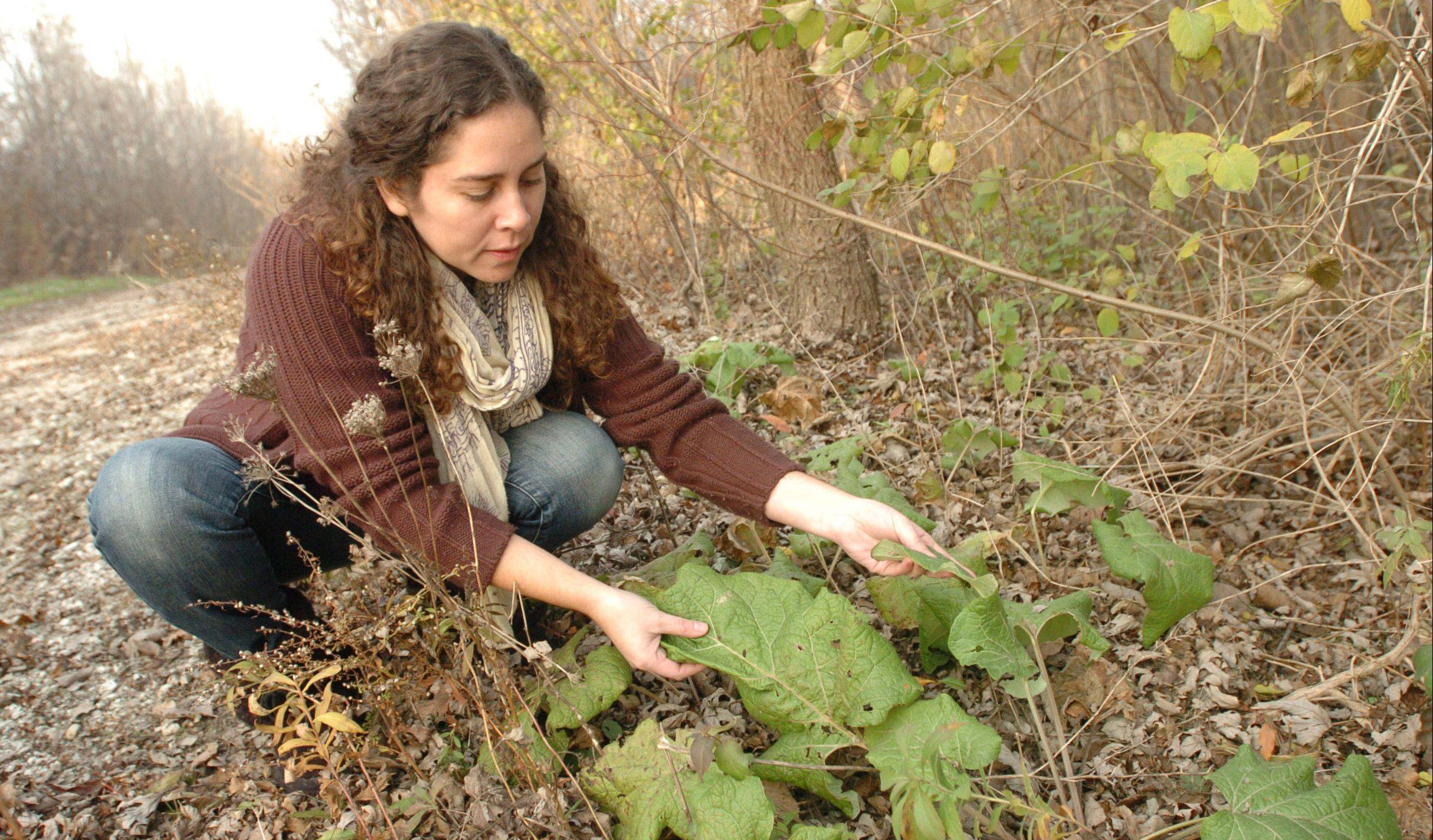 Cote Garceau-Saez of Aurora inspects a Arctium Lappa in a local wooded area. For her home remedies she collects much of what she needs from privately owned lands. She has been in business for 10 years.
