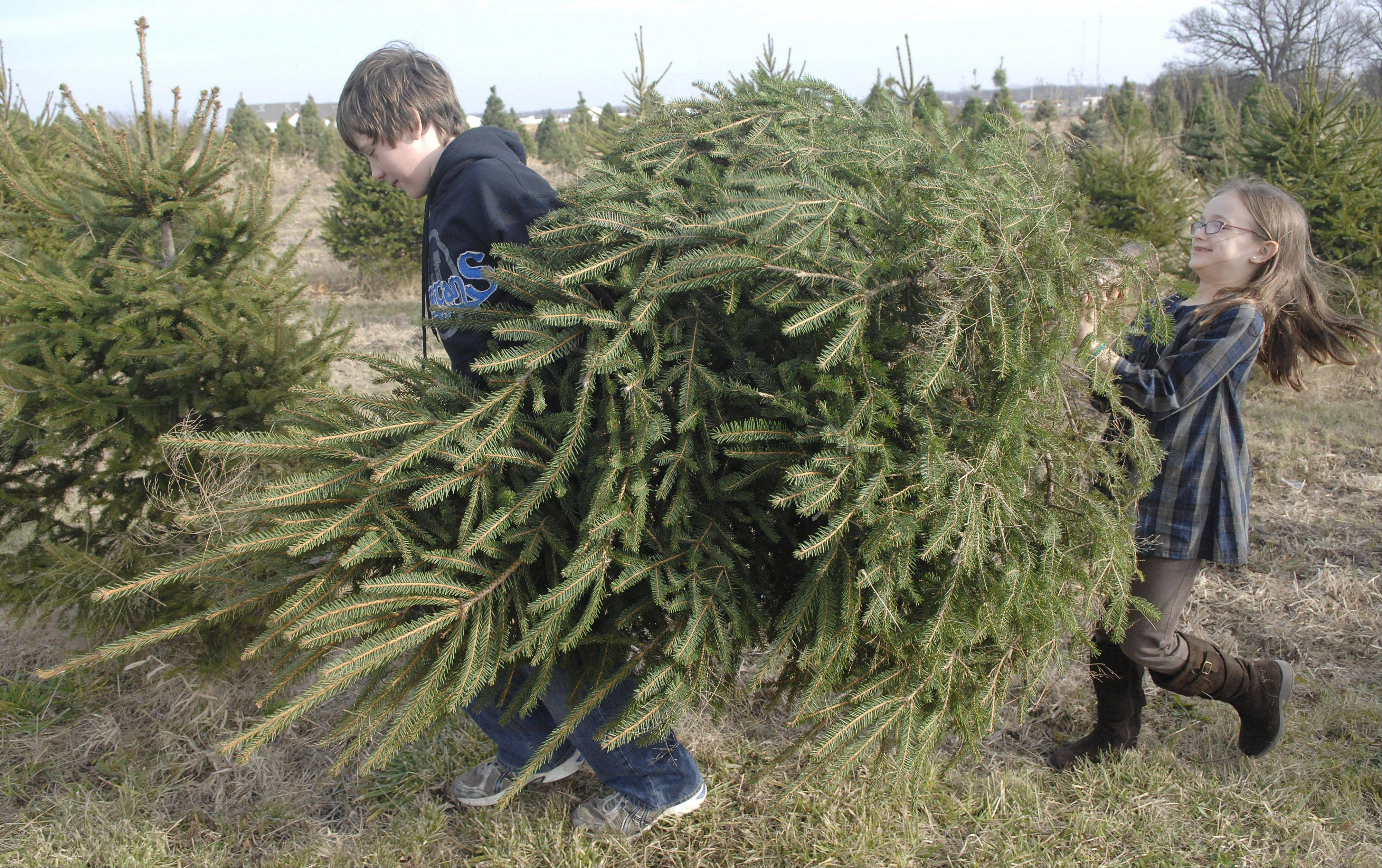 Nathanel Wendel, 12, and little sister Olivia, 8, of Wheaton haul their freshly cut Christmas tree to their car from the Marmion Abbey Farms in Aurora in November 2011.