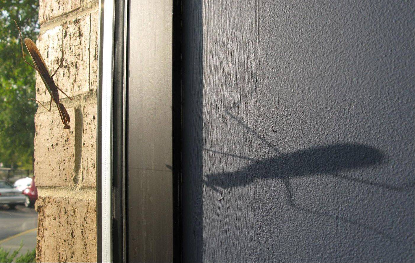 I walked into my office one day and was very startled to see this HUGE bug on my wall. It took a few moments before I realized it was a shadow cast by a praying mantis on the outside of my window. (I had fun scaring my co-workers that afternoon!)