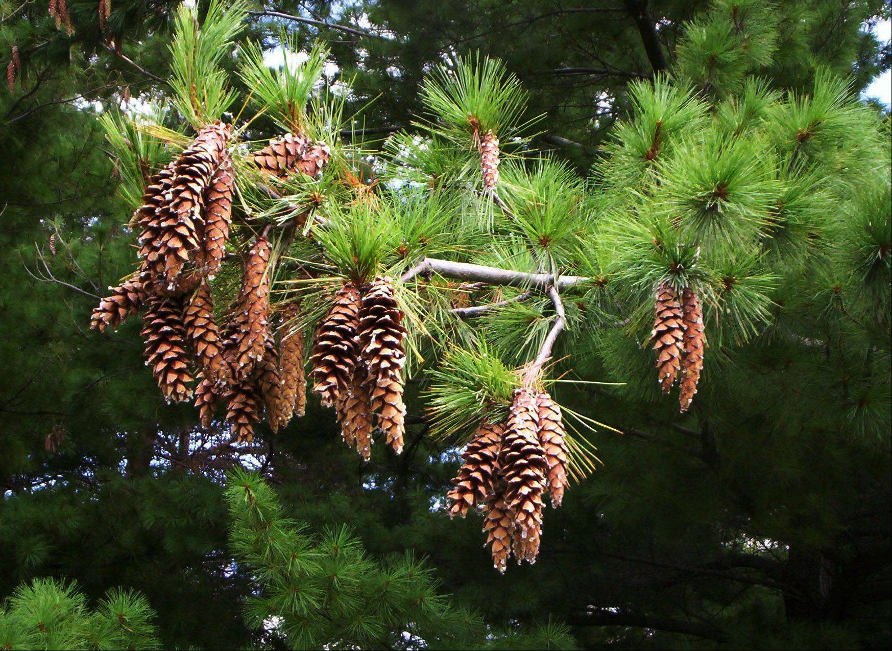 Pine cones in an evergreen tree at Independence Grove Forest Preserve near Linbertyville last October. The size and number of pine cones indicate the upcoming long winter.