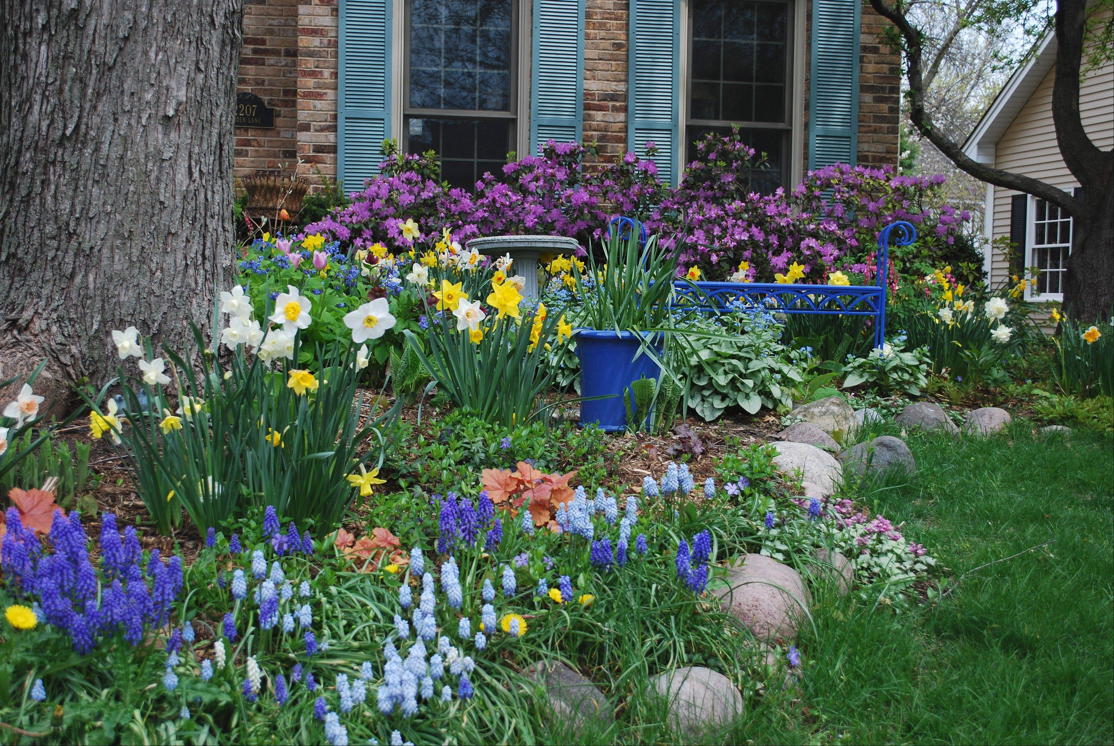 The front of Laura Christensen's Wheaton home comes alive with color in the spring with silver maple at left, a blue bench for relaxing and lots of spring flowers.