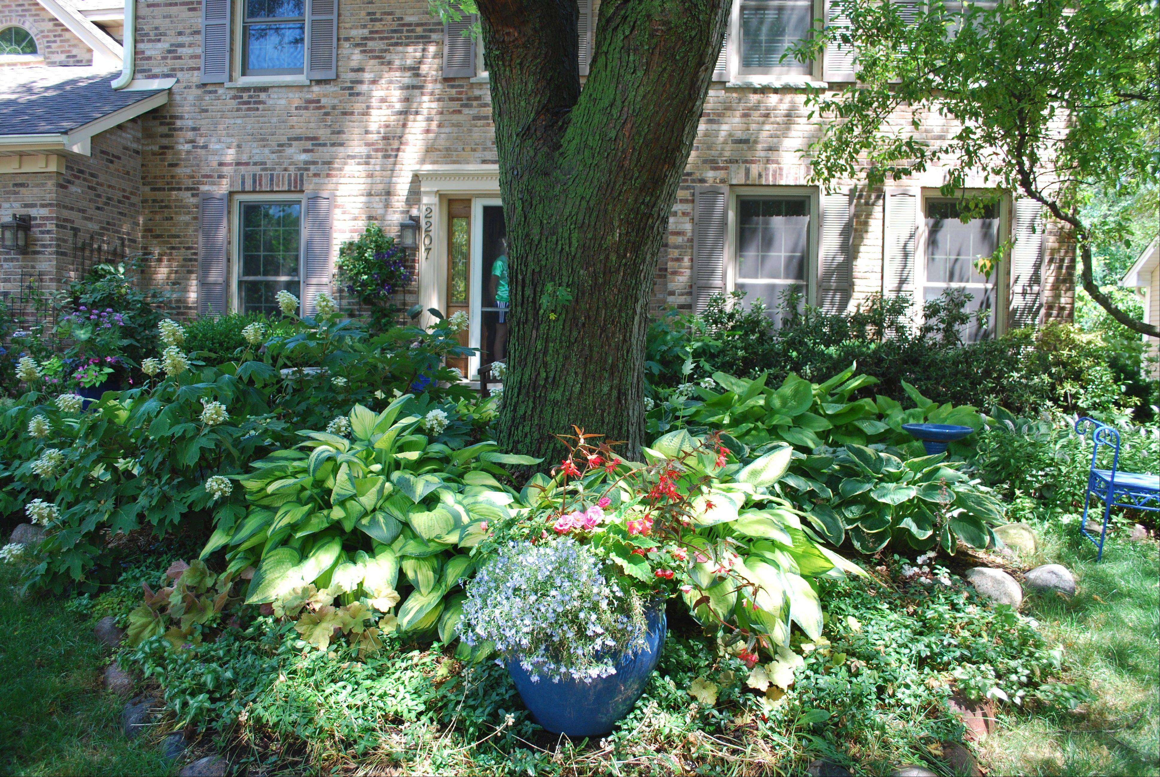 Summer in the front yard is full of shade and shade-loving plants under the silver maple tree.