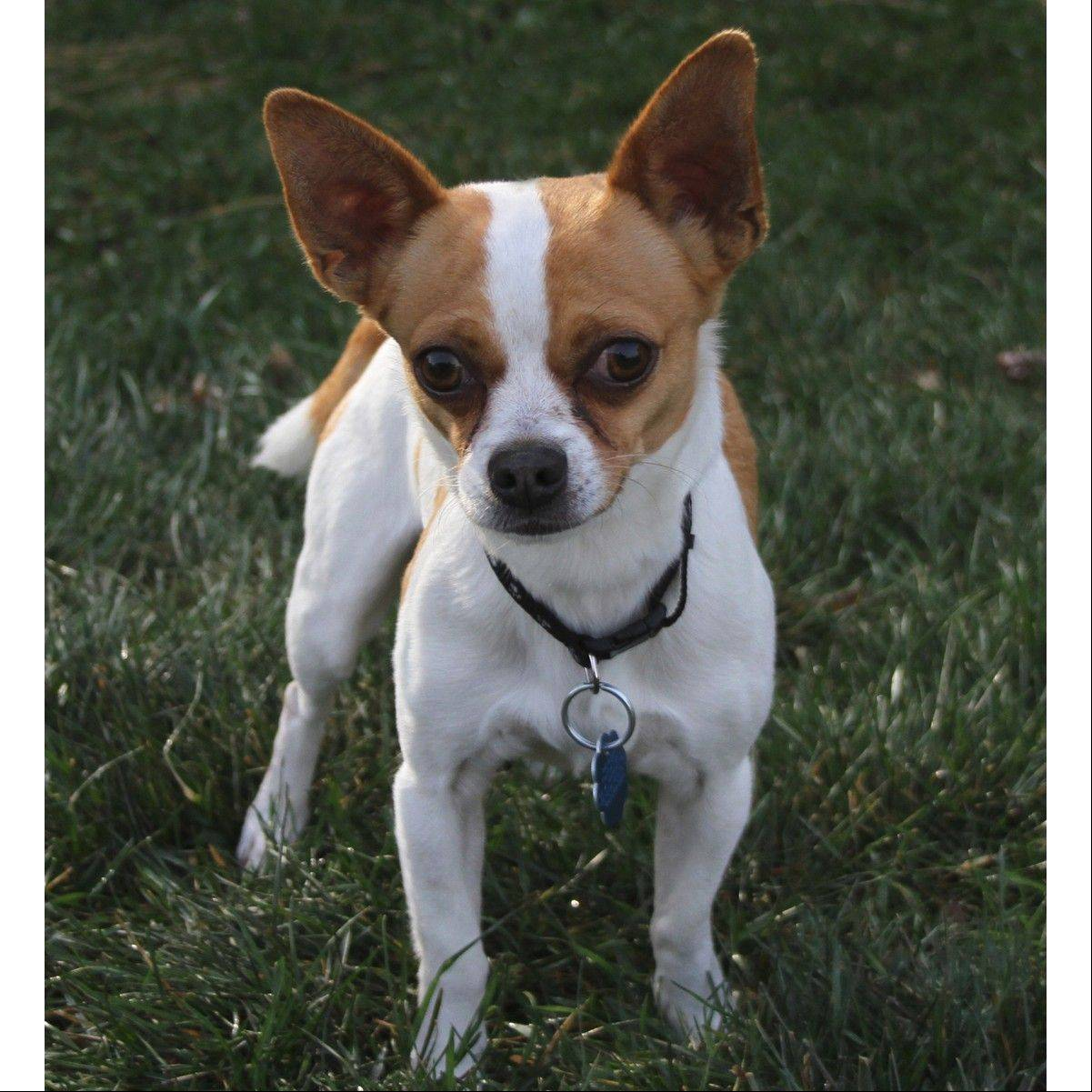 Izzy, a male, 3-year-old Chihuahua, weighs about eight pounds.