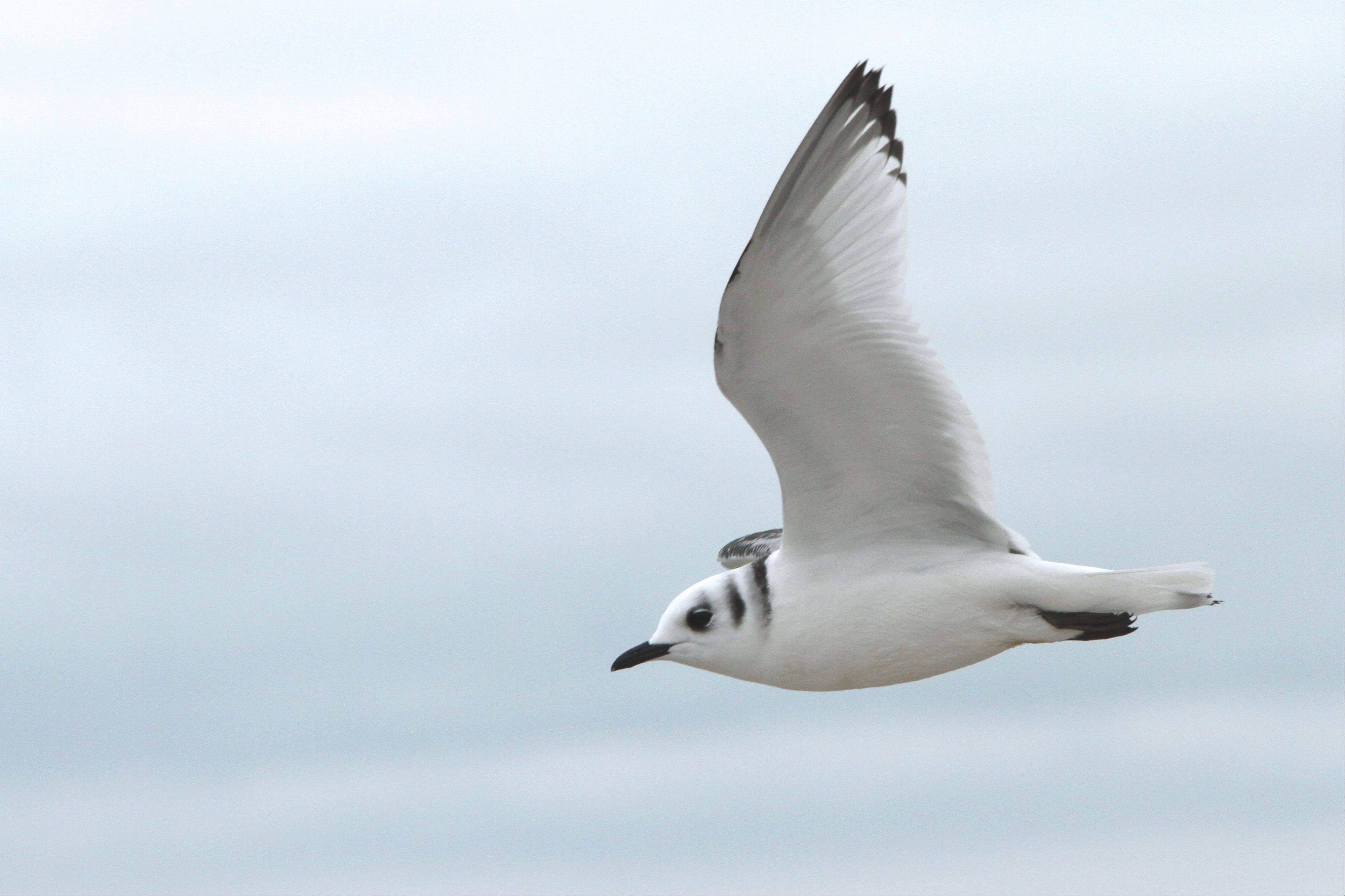 The Chicago lakefront is a magnet for vagrant species, like this black-legged kittiwake, seen on Nov. 3.