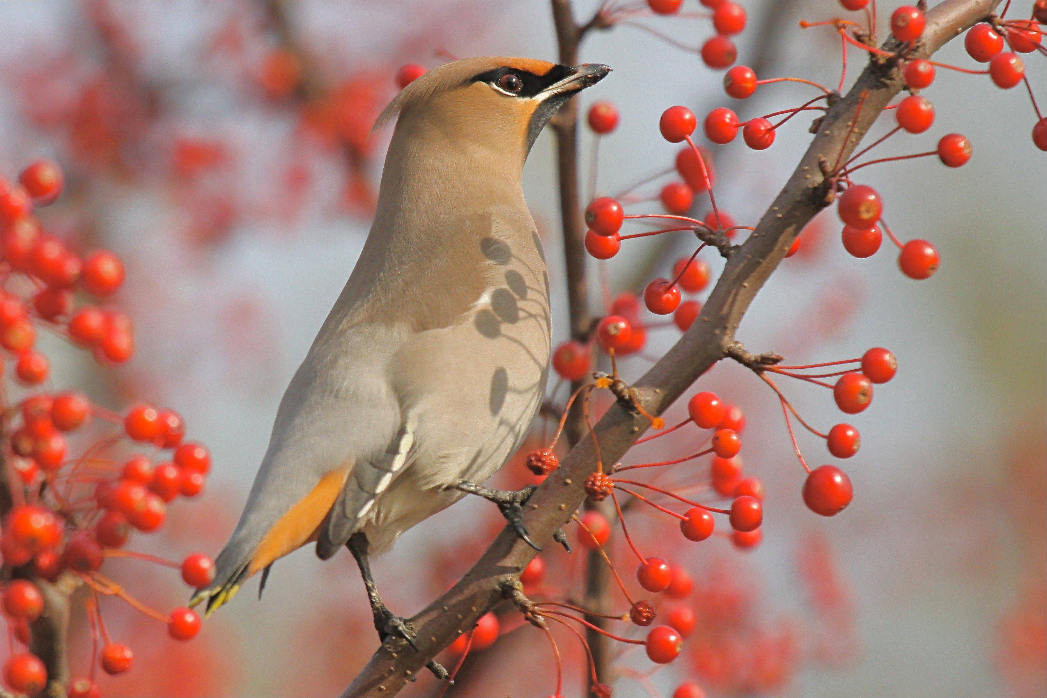 This stunning Bohemian waxwing was mingling with a flock of cedar waxwings at Chicago Botanic Garden in November.