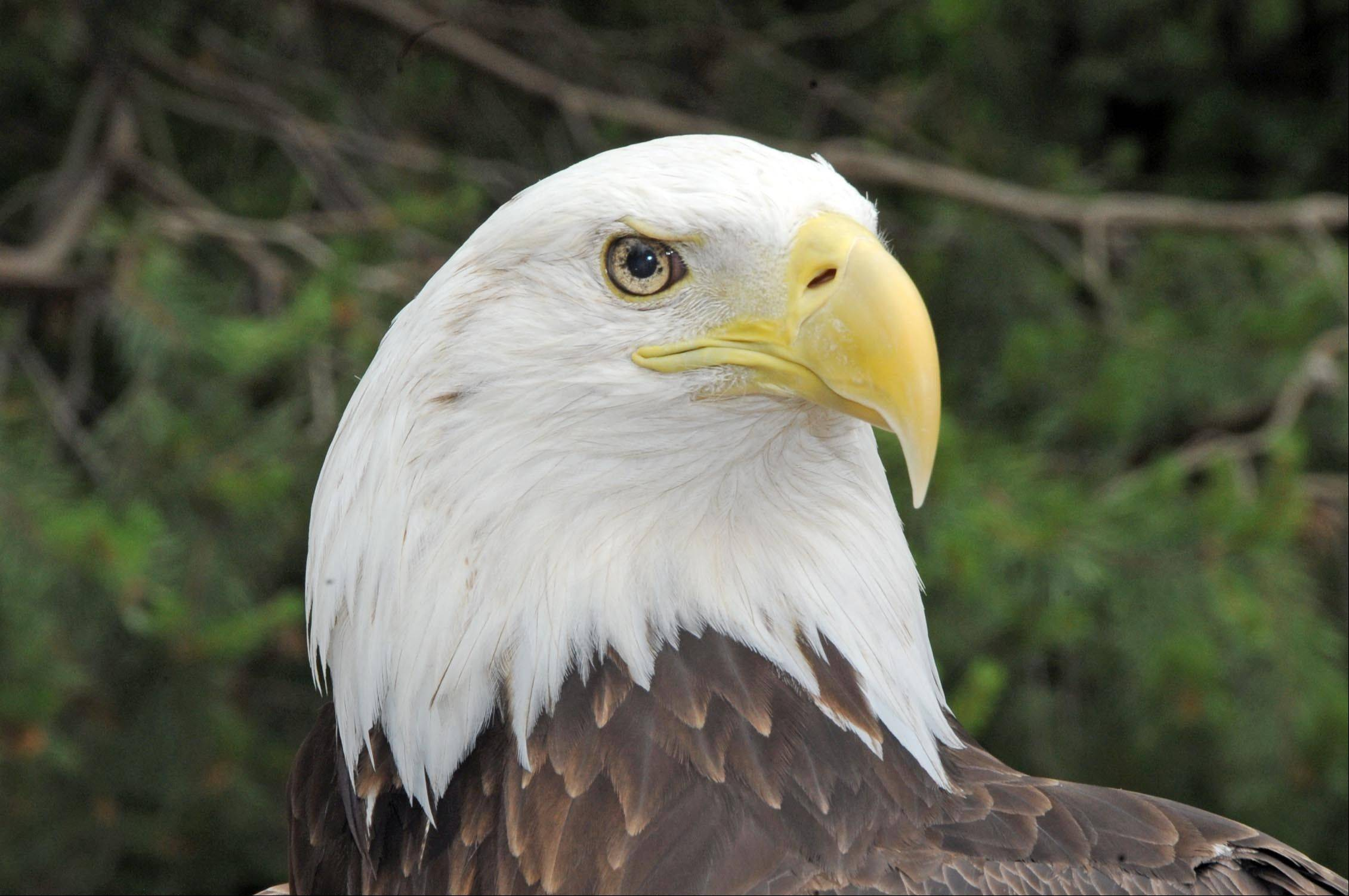 Bald eagles are increasingly common throughout our region.