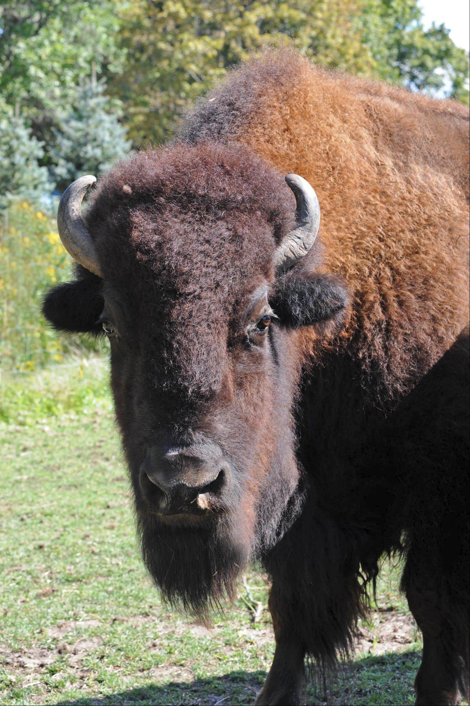 Becky, a 13-year-old bison who now calls Brookfield Zoo home, soon will be moving to the Lords Park Zoo in Elgin with her herd mate Drew, also 13. They were supposed to have moved to Elgin this month, but Drew broke a horn.