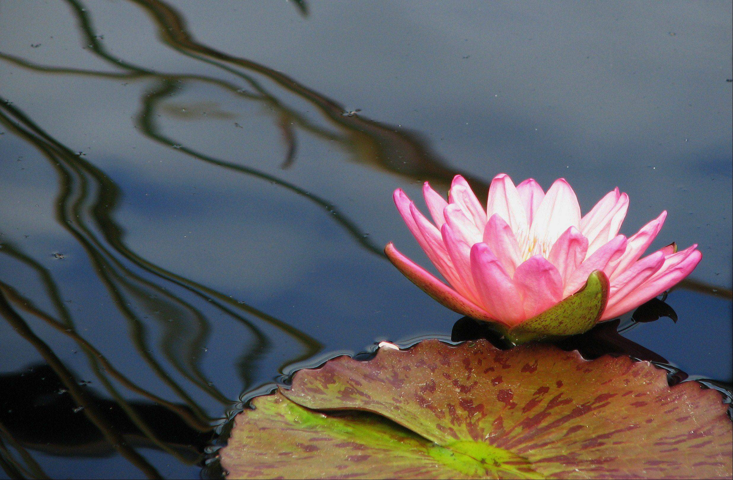 A water lily blossom sits on the rippling water at the Chicago Botanic Garden this fall.