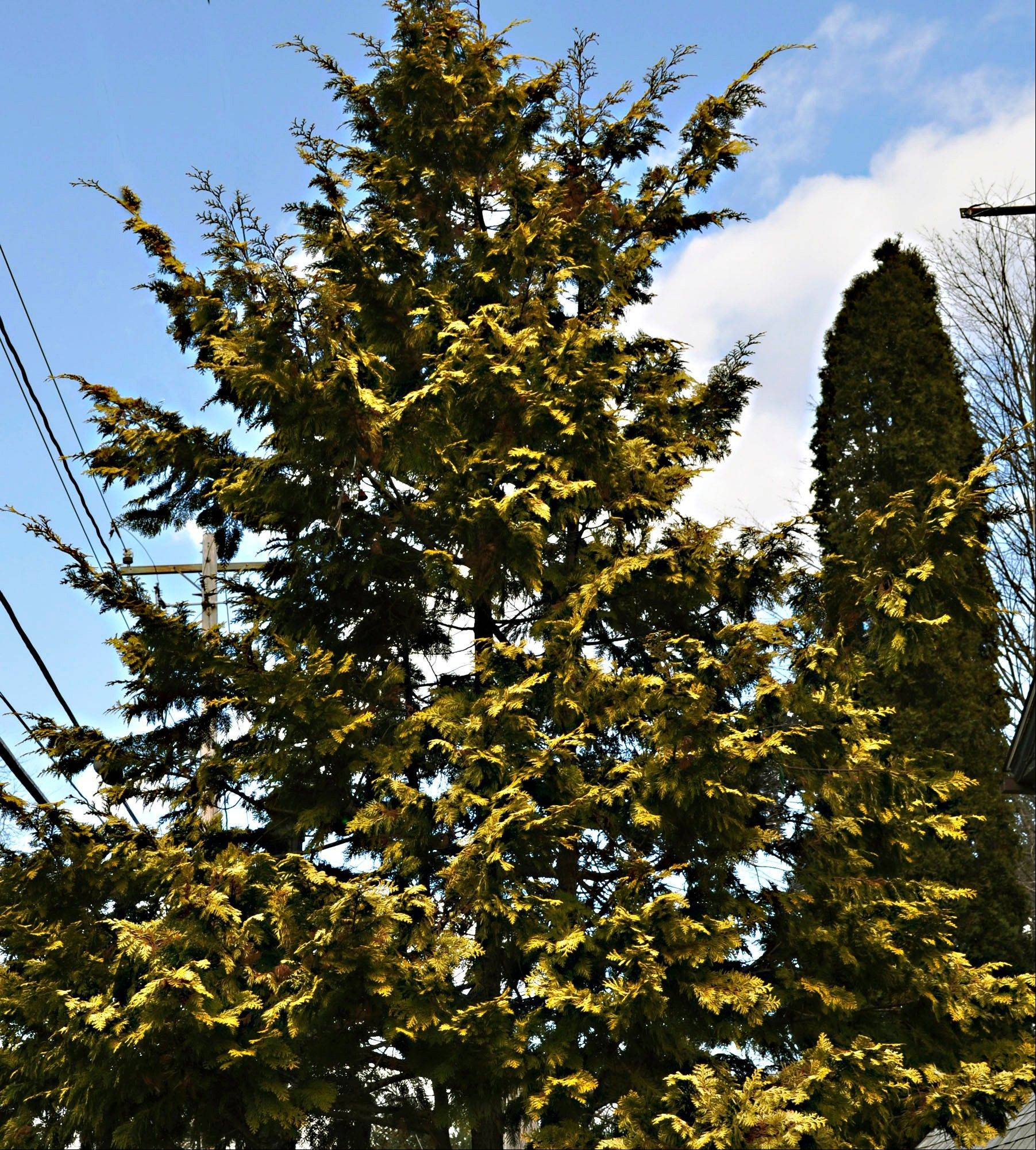 Some varieties of arborvitae, yew and juniper sport yellow foliage, and also have relatively dense, small needles, so the trees look full even when viewed up close, propped by the fireplace.