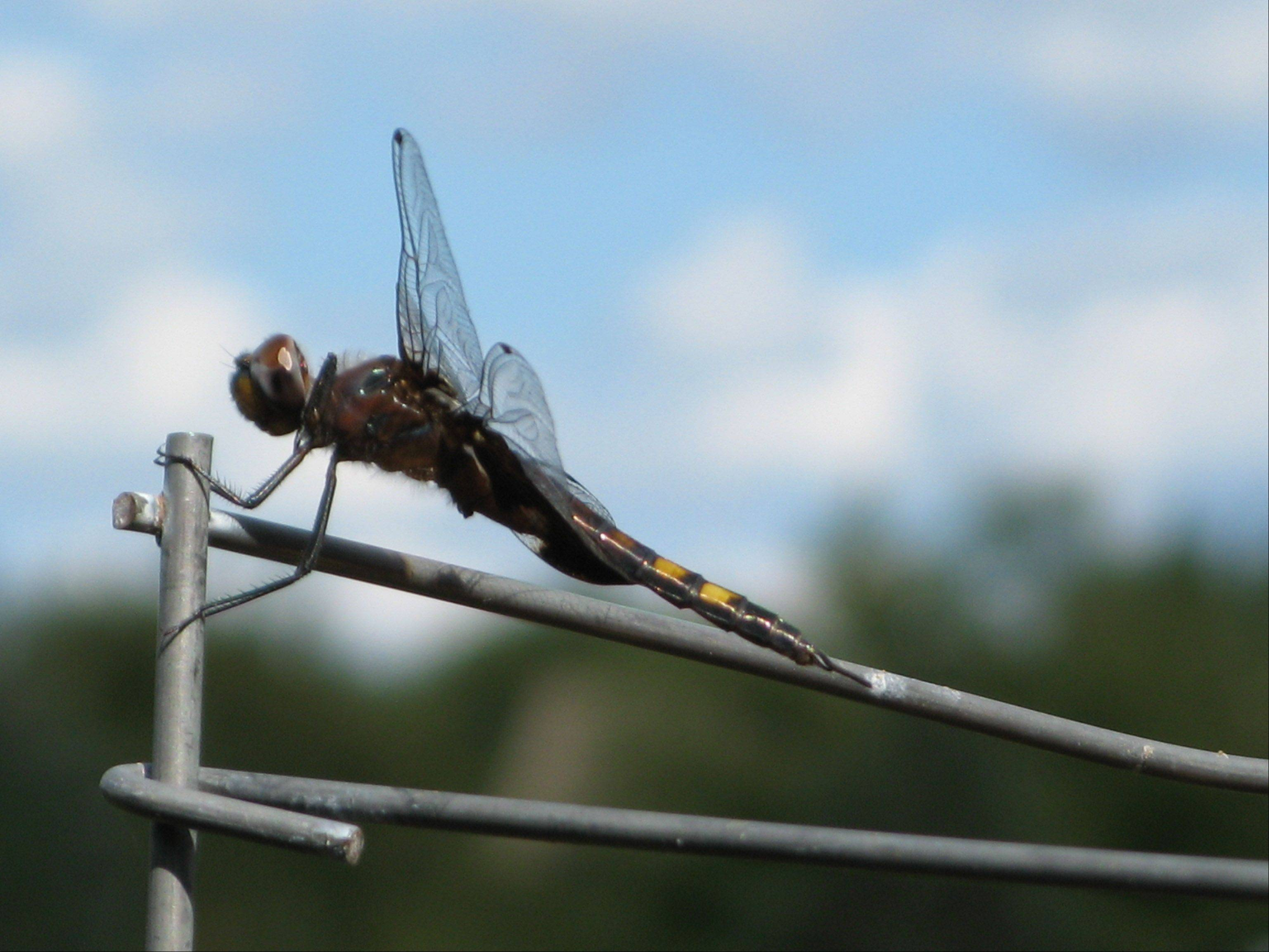 A dragonfly rests on a wire during the summer of 2010 in a Hawthorn Woods backyard.
