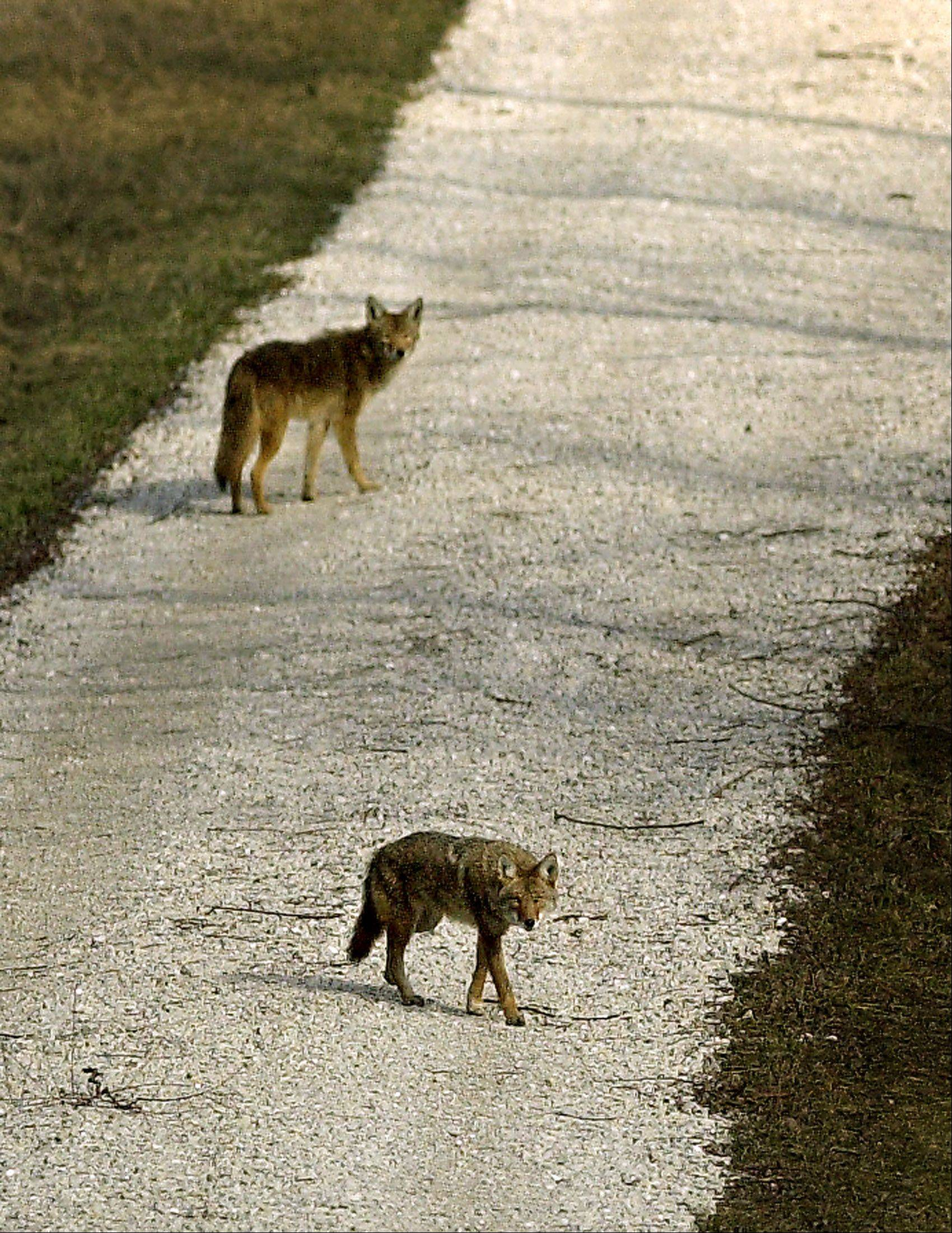 If you see a coyote, Wheaton officials suggest scaring it away by making noise, throwing things at it or spraying it with a garden hose.