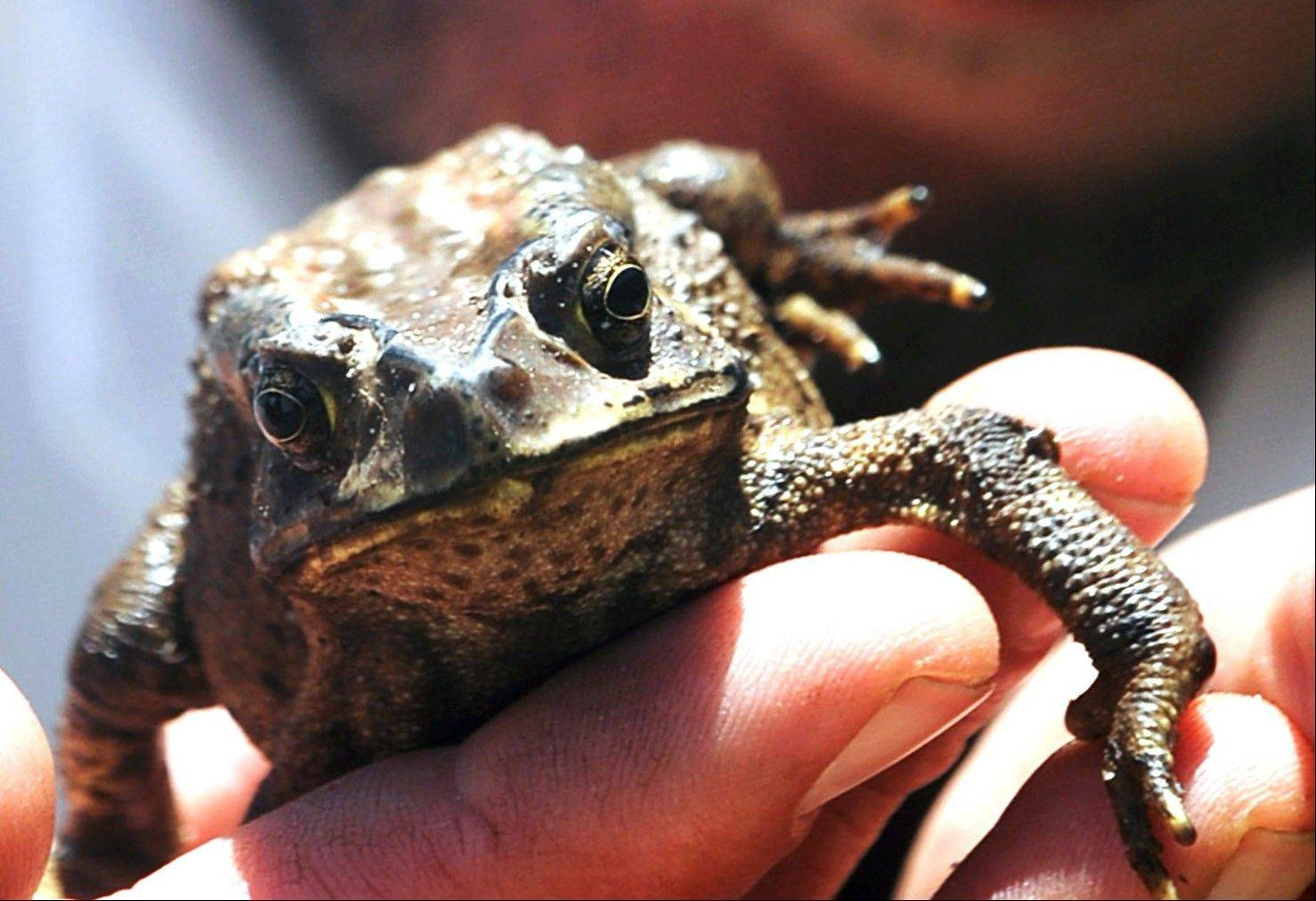 This Asian toad, shown here Wednesday, was found inside a candlestick at a Cape Town South Africa store.