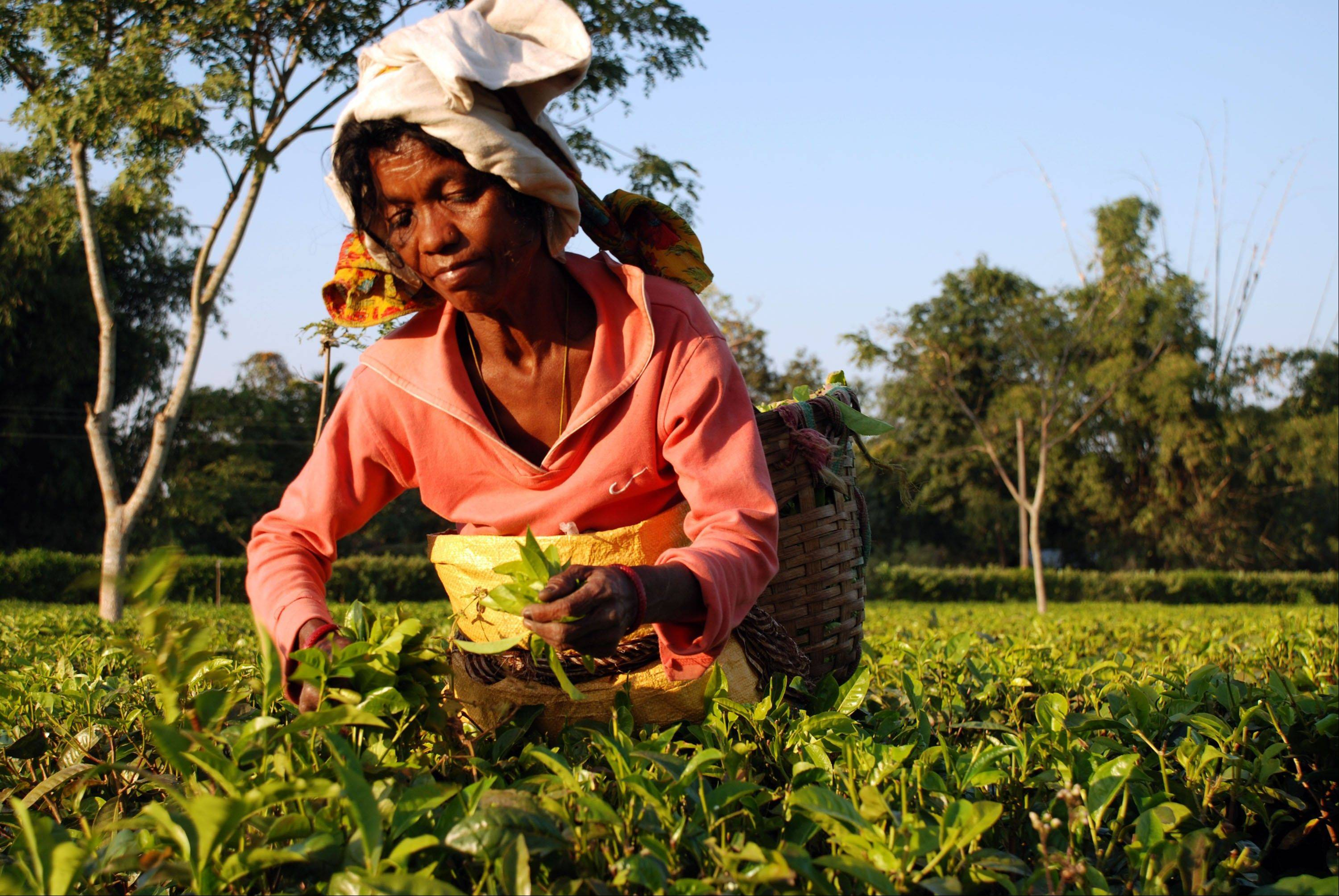 A plucker makes her way through the tea bushes on the Addabarie Tea Estate in Assam, which dates back to 1870 and British colonial times in Balipara, India.