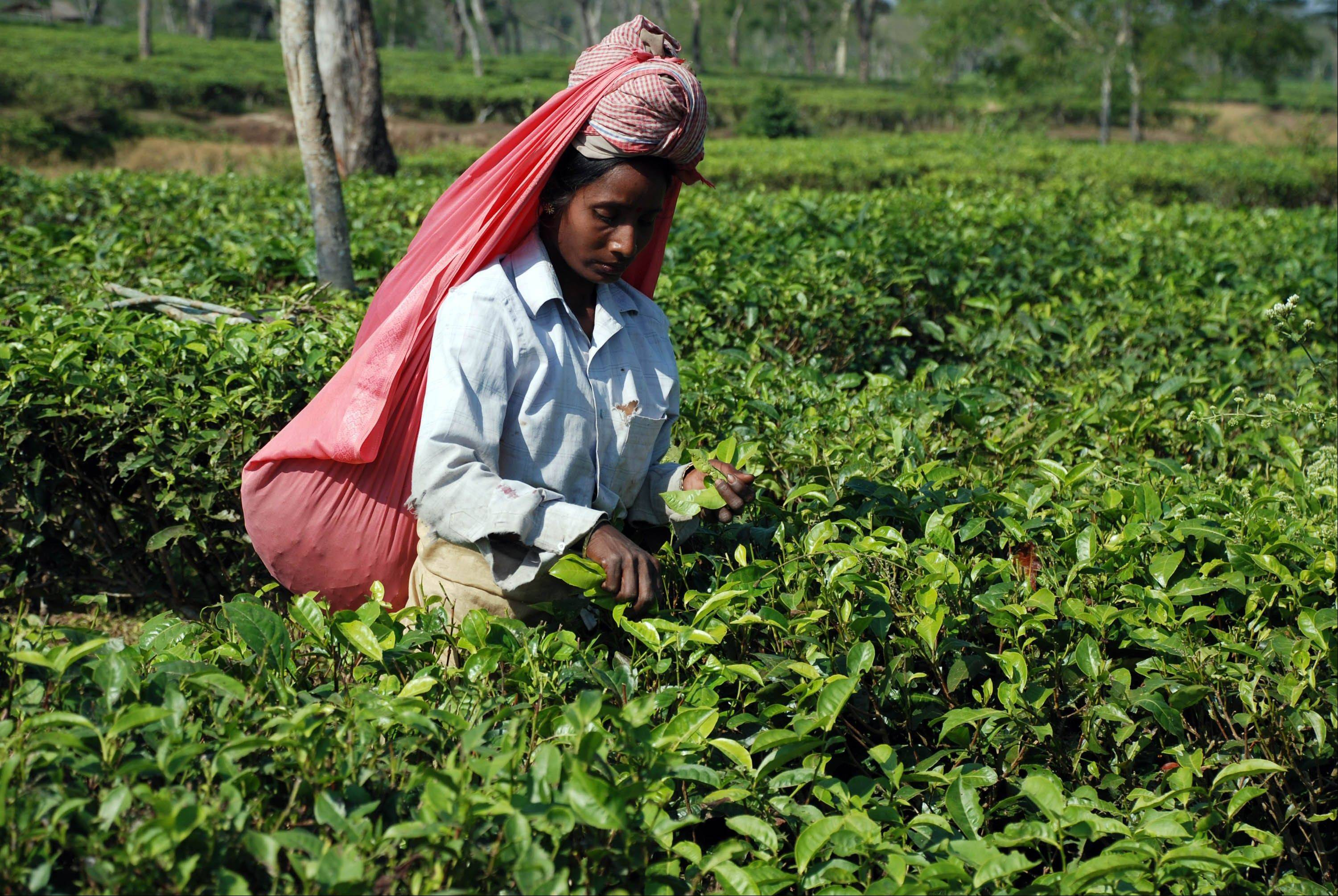A tea plucker works on the Gatoonga Tea Estate in Jorhat in Assam, India. Assam is a must for tourists interested in tea and the lifestyle of its planters.