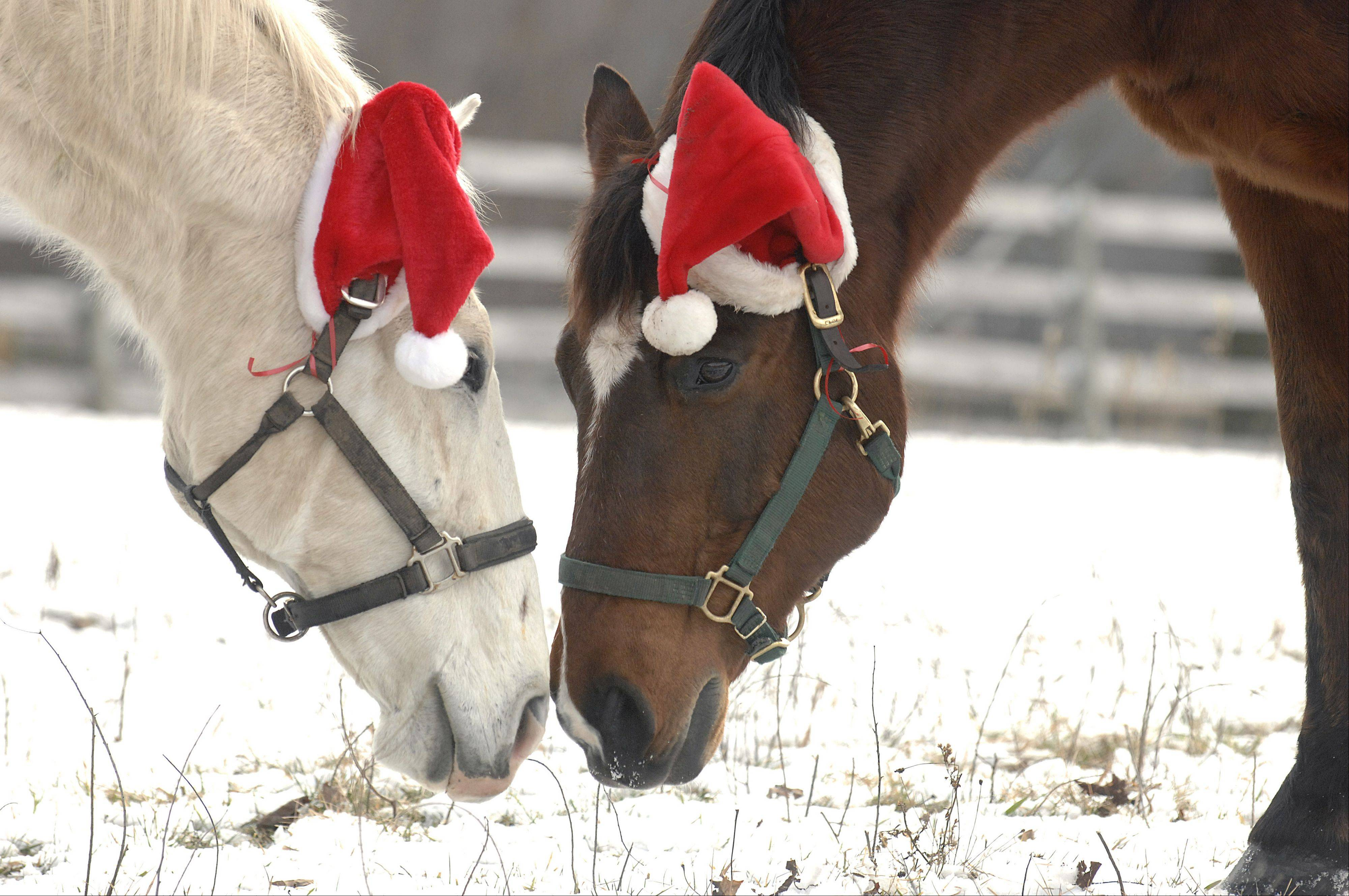 Two horse wearing Santa hats nuzzle at a private barn called Canterfield Farm in West Dundee on Christmas Day. This is the eighth year the horses have worn the hats. Many drivers stop along Route 31 to look and take pictures.