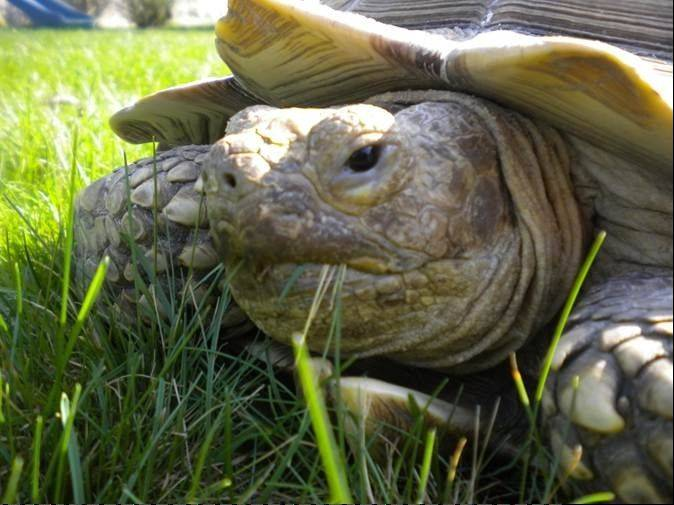 Lance, a 44-year-old African spurred tortoise, went missing in June but eventually was reunited with his Lombard family.