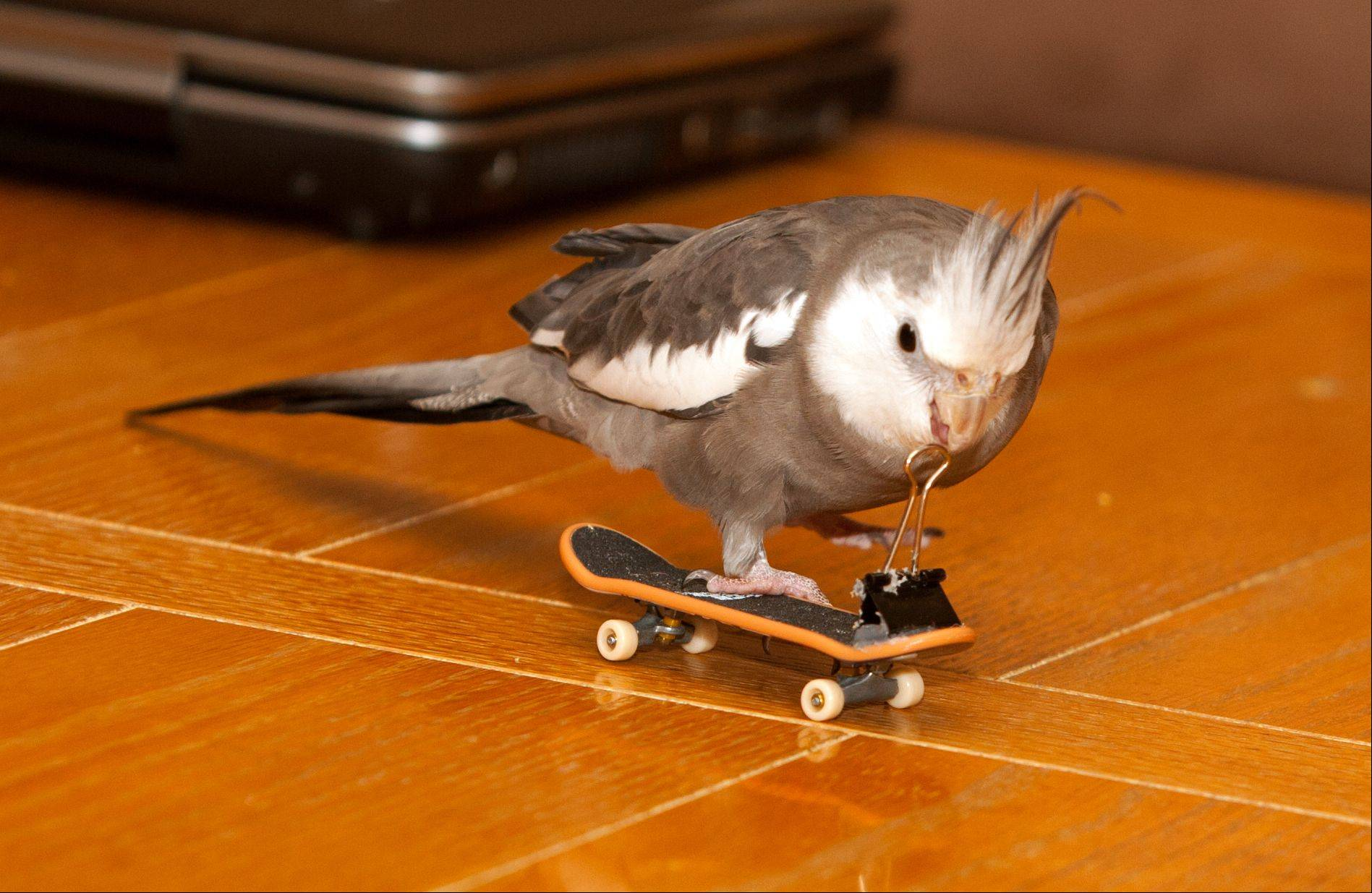 Tango, a skateboard-riding cockatiel, went missing Thanksgiving Day but returned safe and sound to his Lombard home after a harrowing journey.