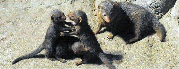 "Dwarf Mongoose pups Born at Brookfield Zoo with mom ""Tavi"""